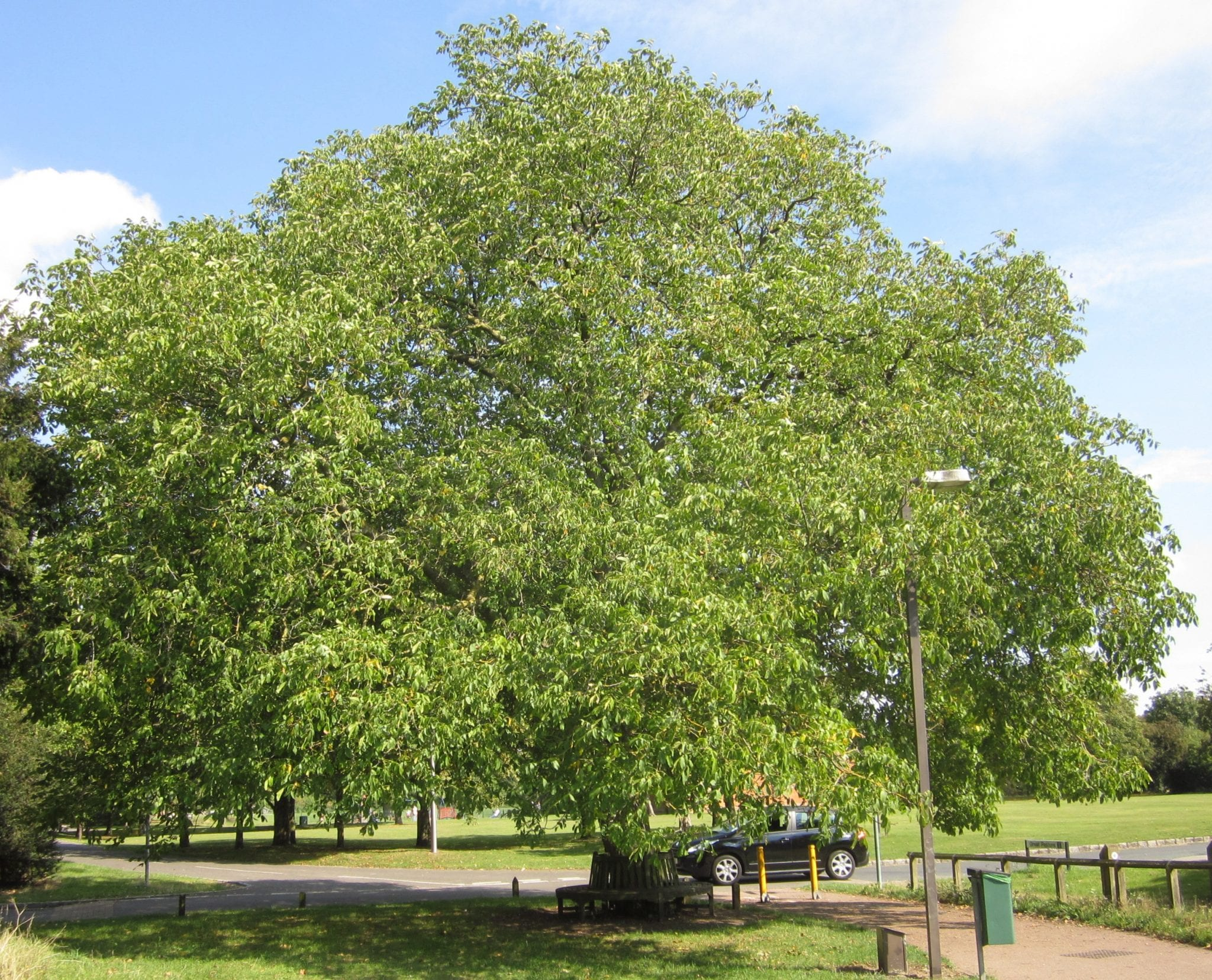 Walnut tree September