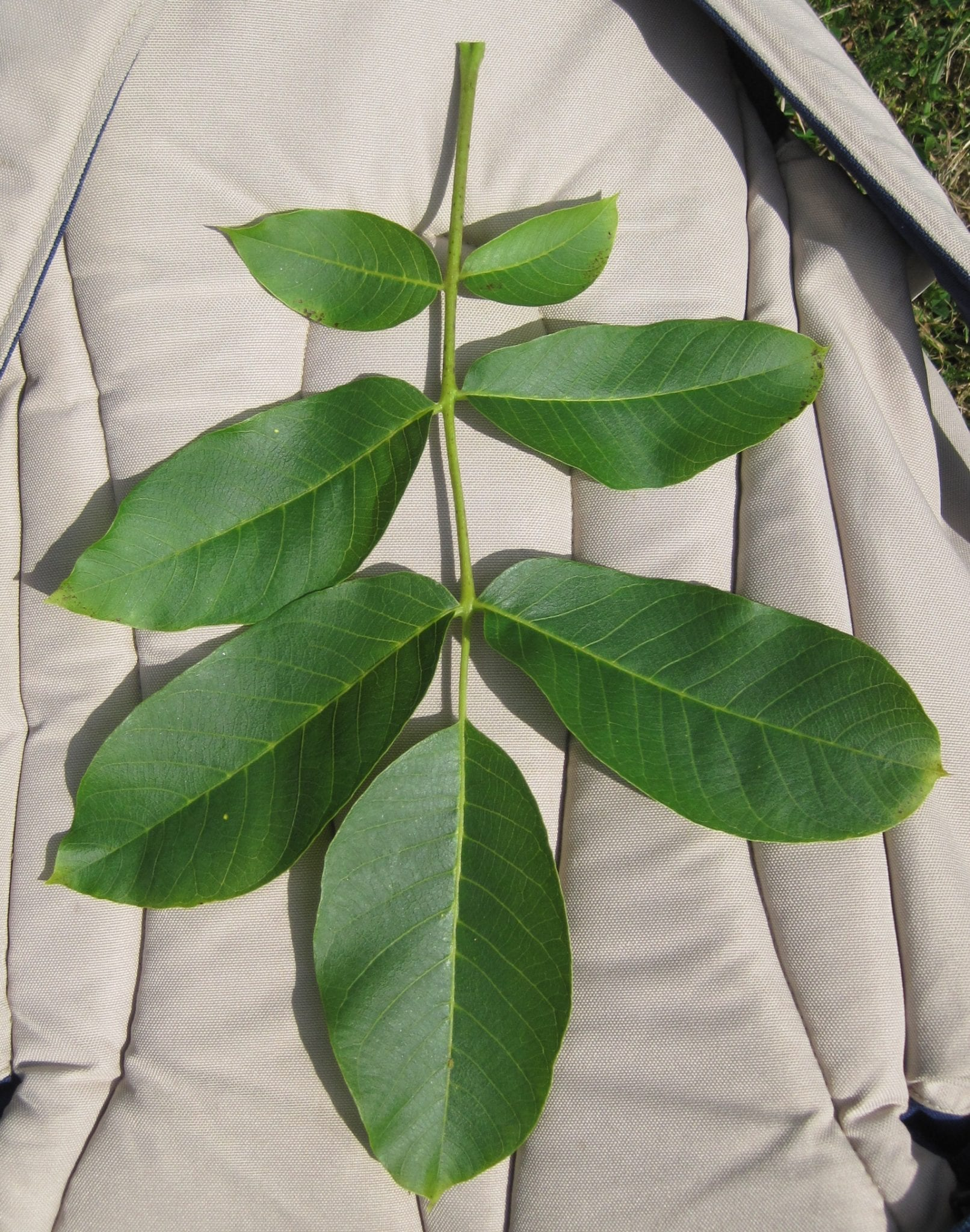 walnut tree pinnate leaf
