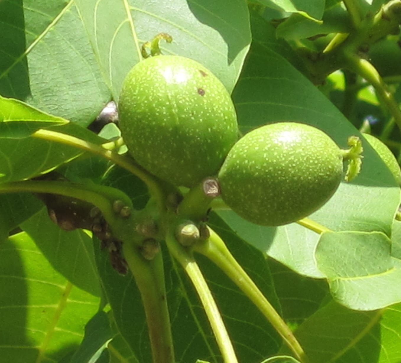 walnut fruit