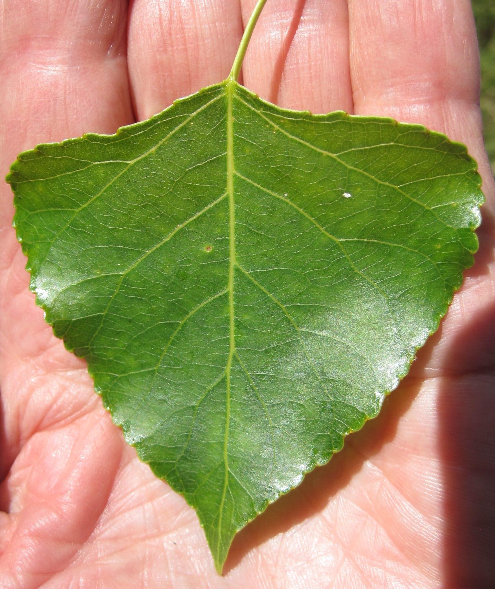 Black Poplar leaf