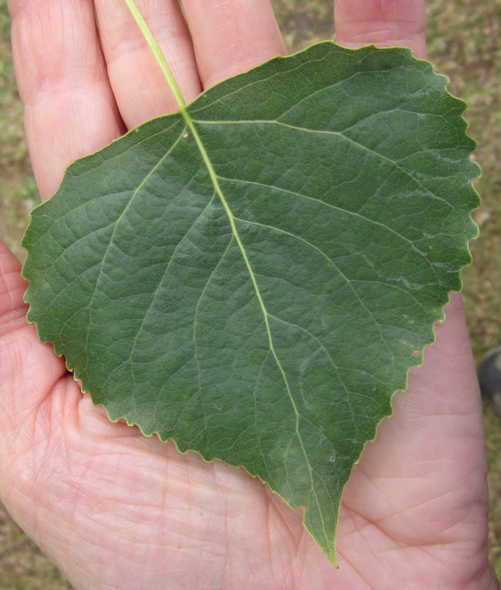 Hybrid Black Poplar leaf