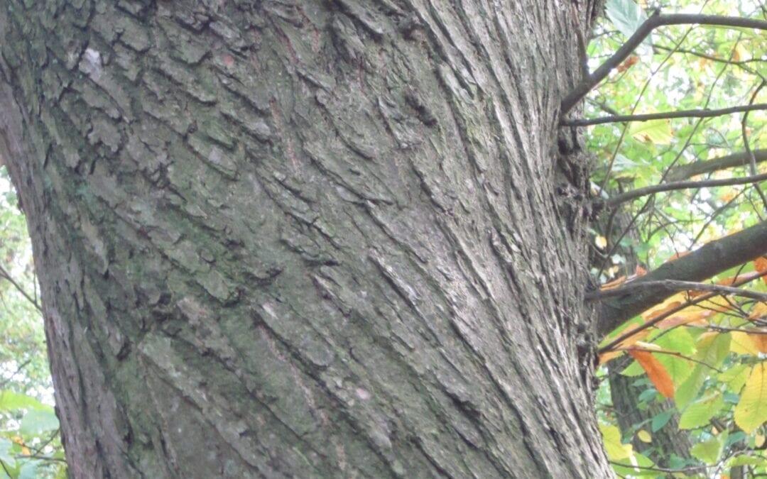 Sweet Chestnut identification in winter