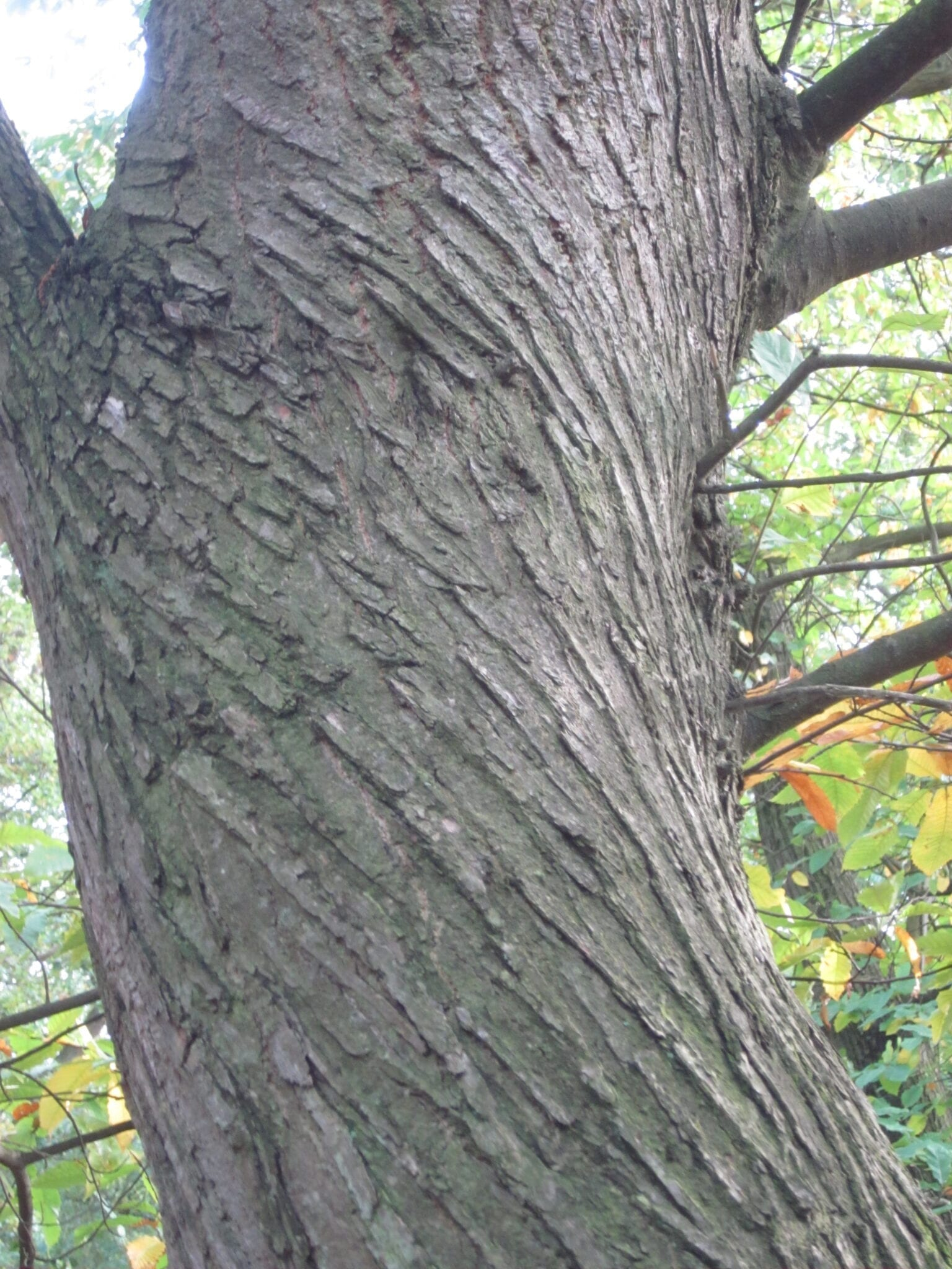 Sweet Chestnut tree bark