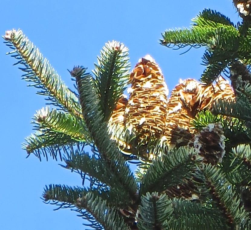 Caucasian Fir cones