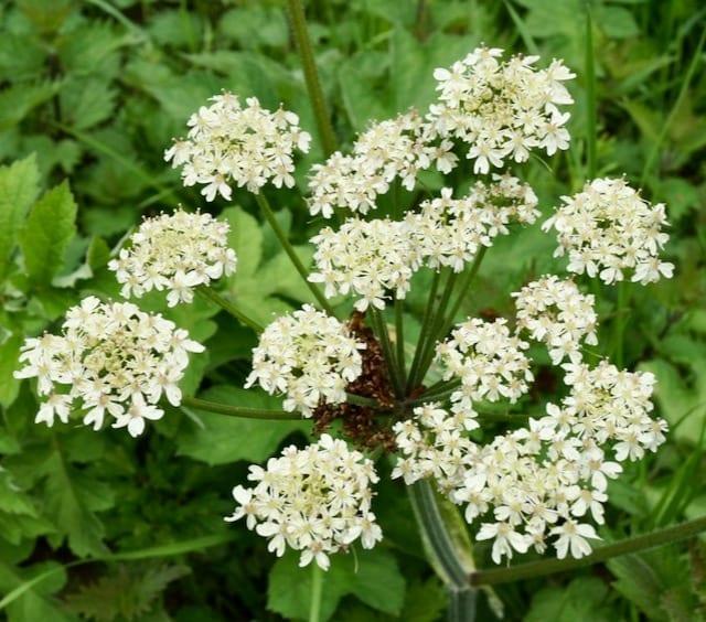 Heracleum spondylium.
