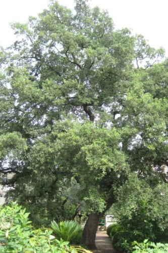Cork Oak tree