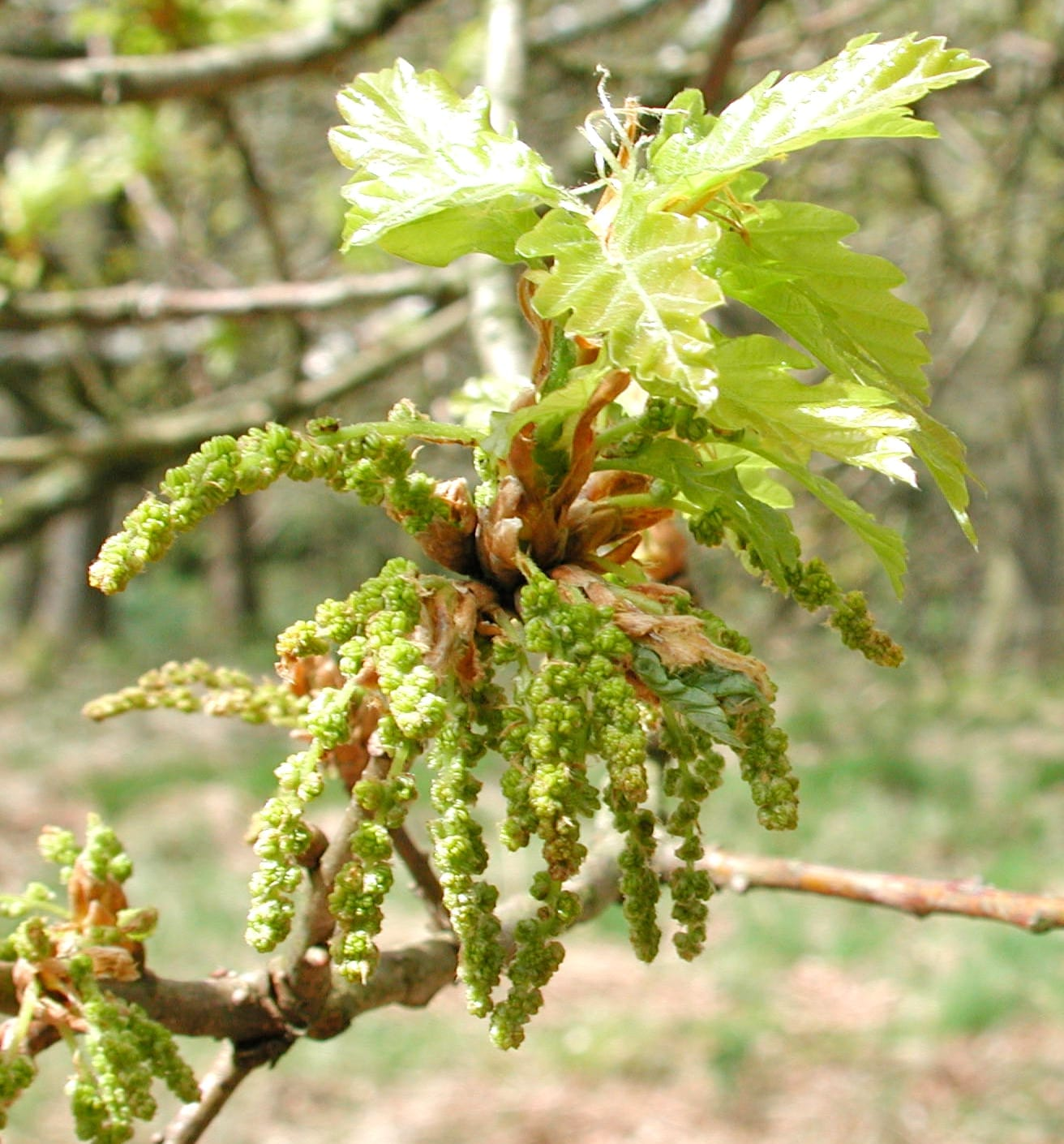 english oak female flowers