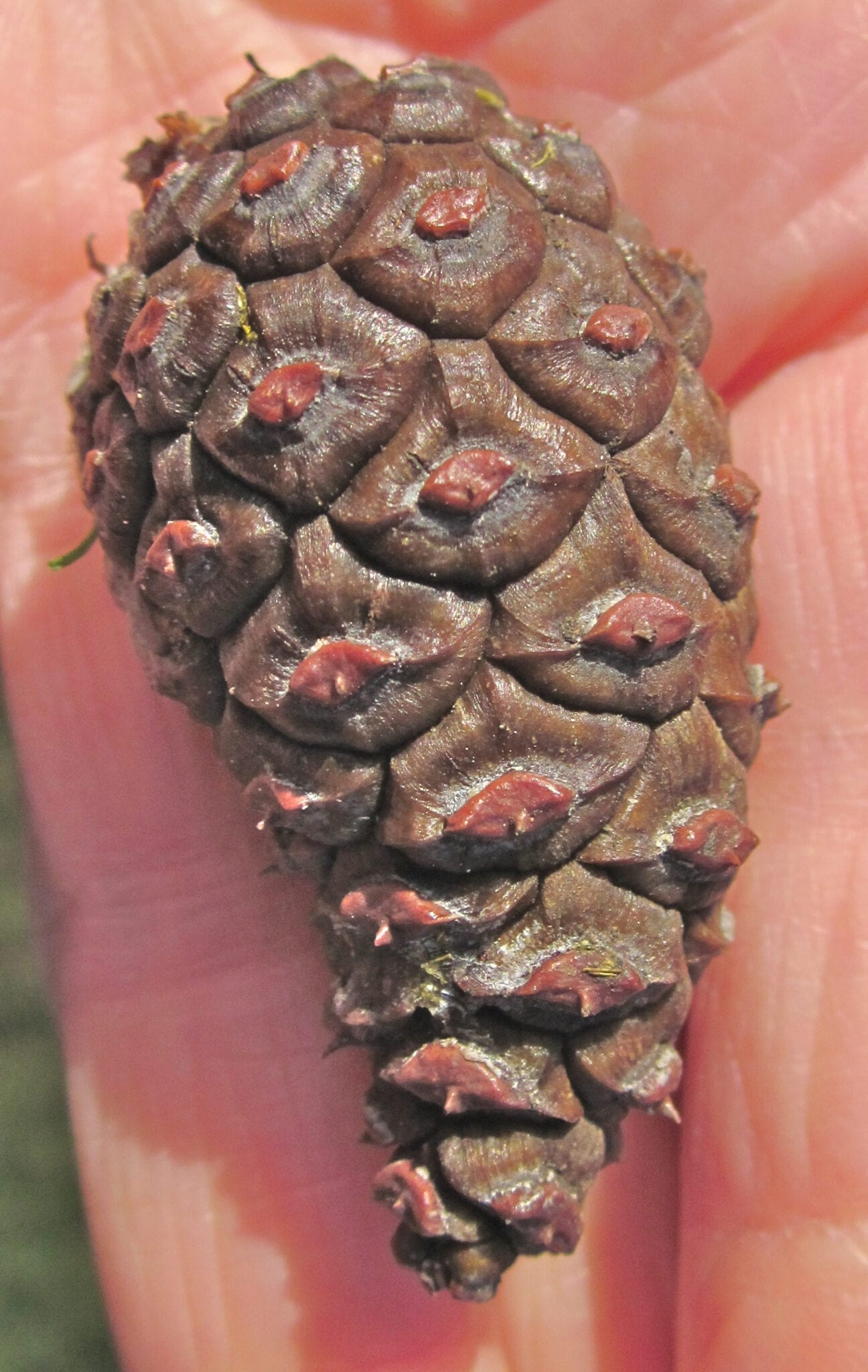 Austrian pine cone