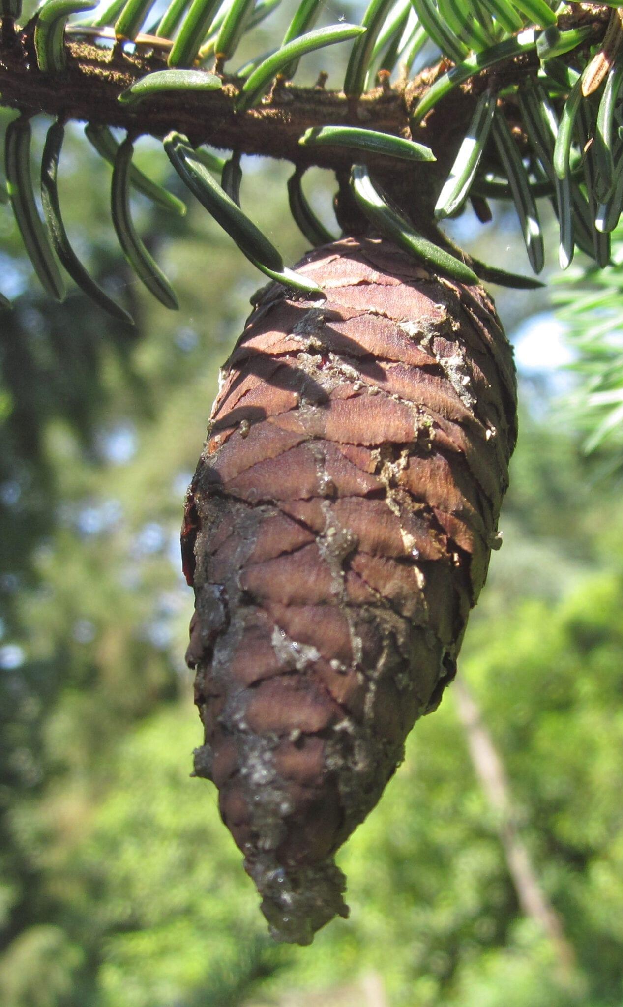 Serbian Spruce cone