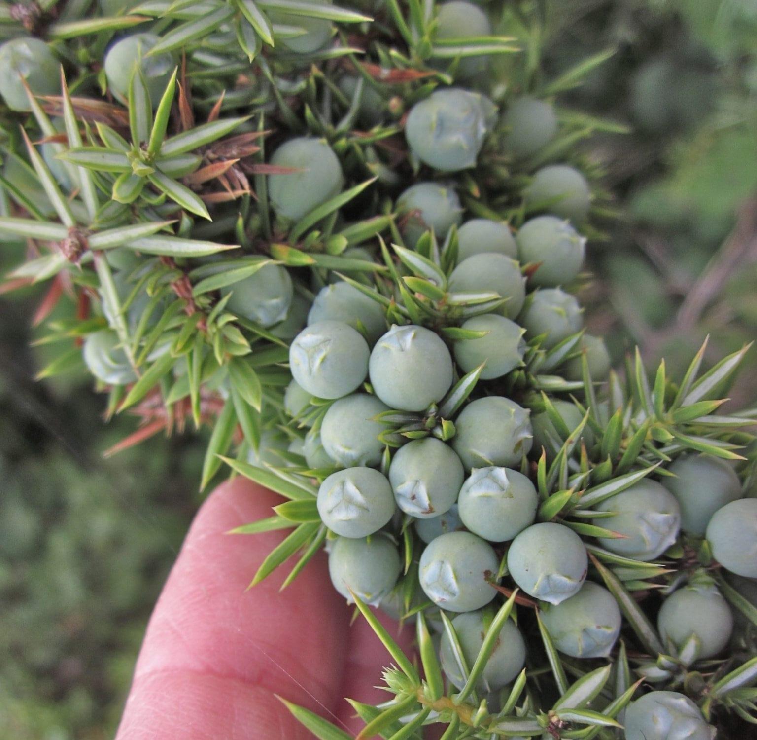 seed cones called berries
