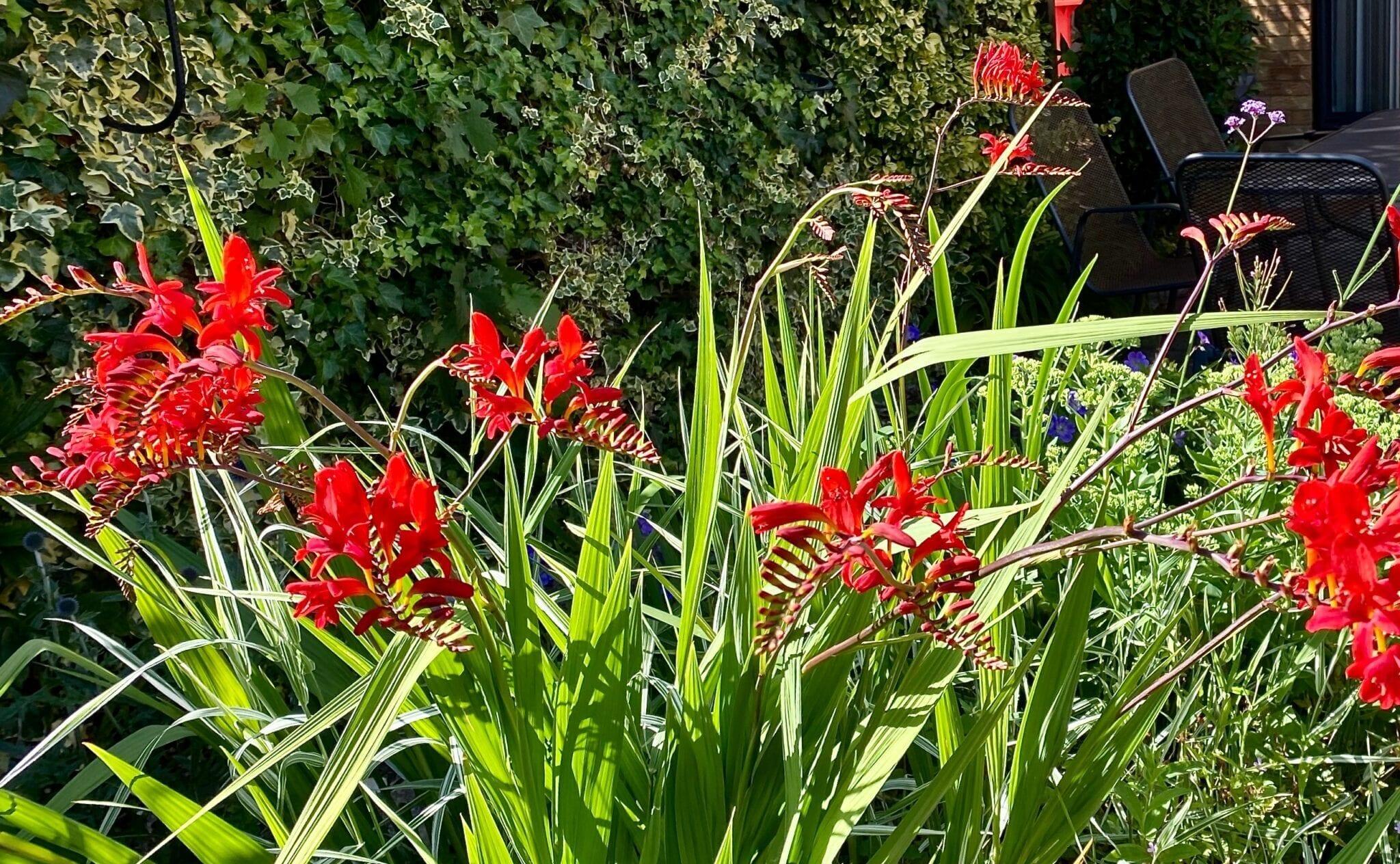 crocosmia in a garden
