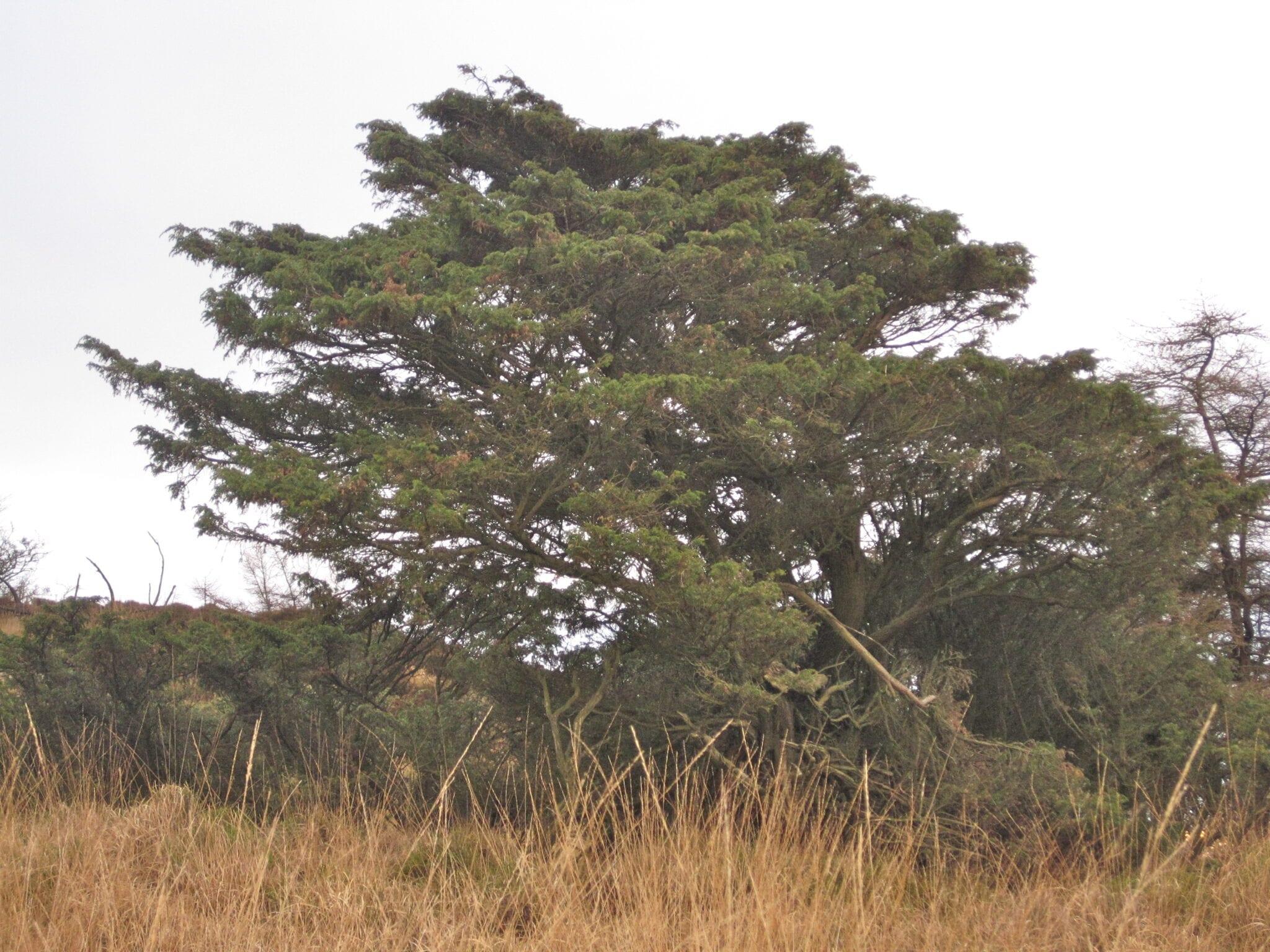 Common Juniper shrub