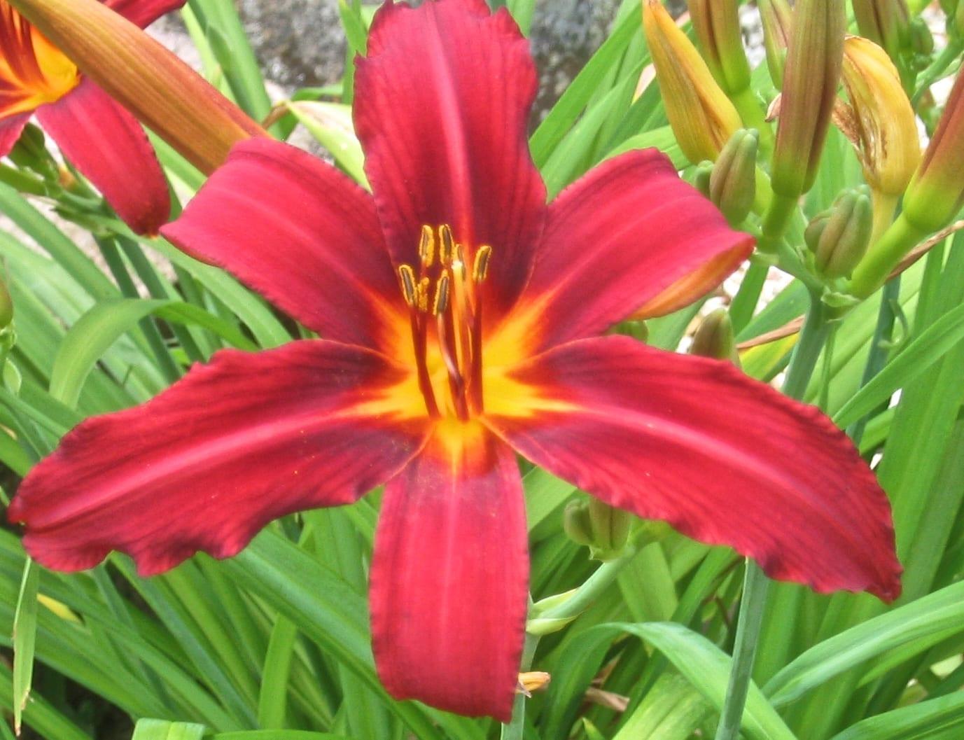 Hemerocallis Day Lily