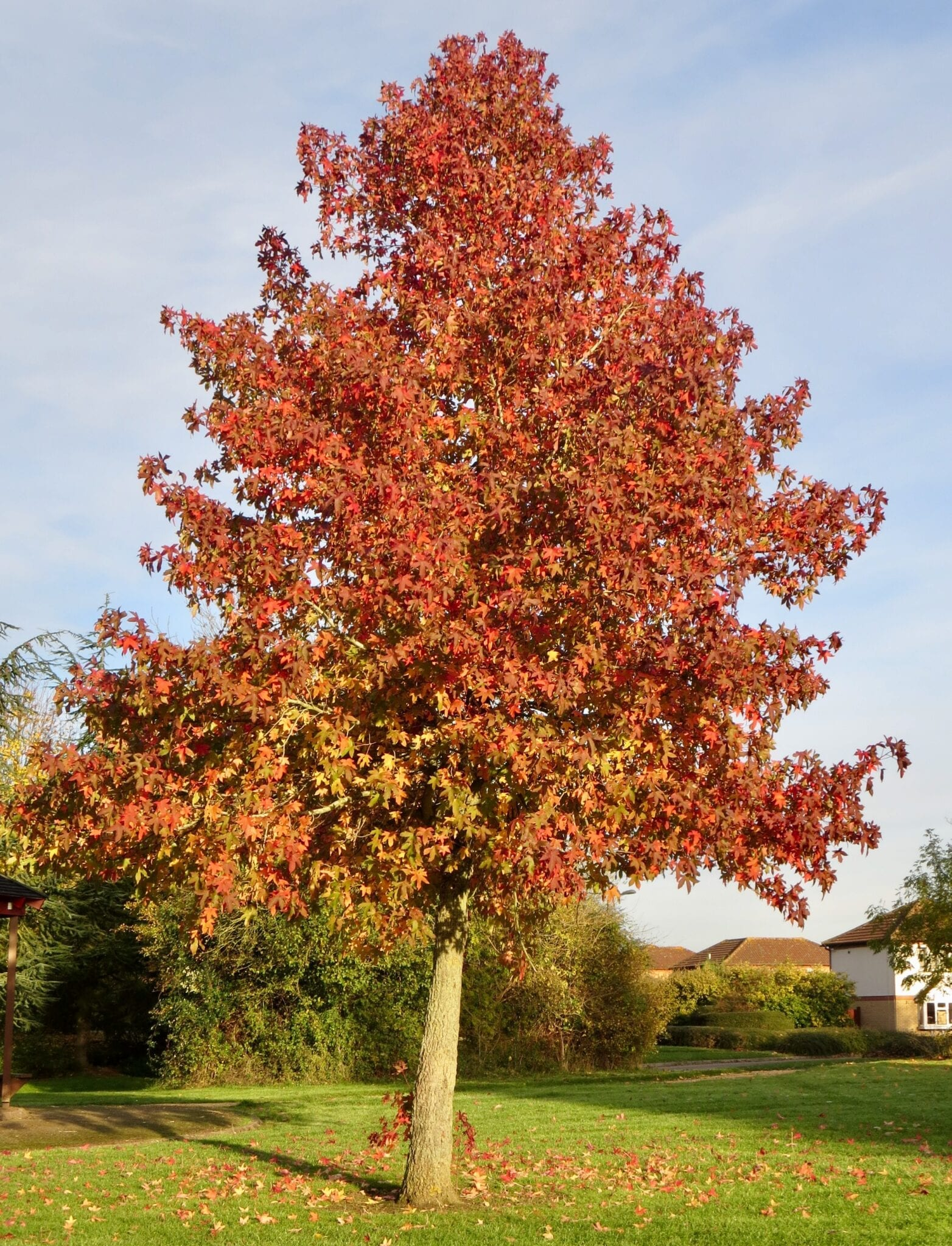 sweet gum tree in autumn
