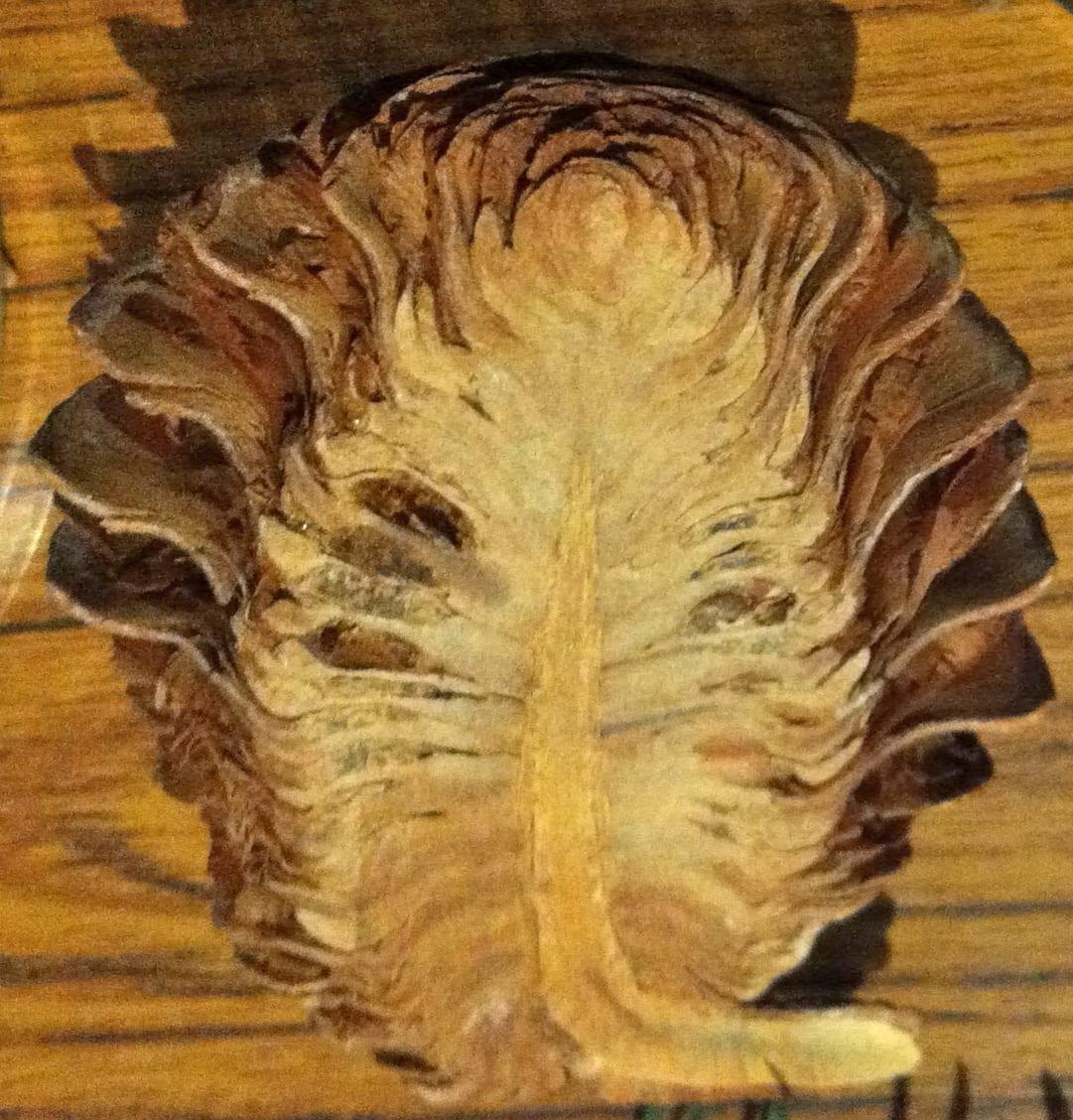 Atlas cedar seed cone section