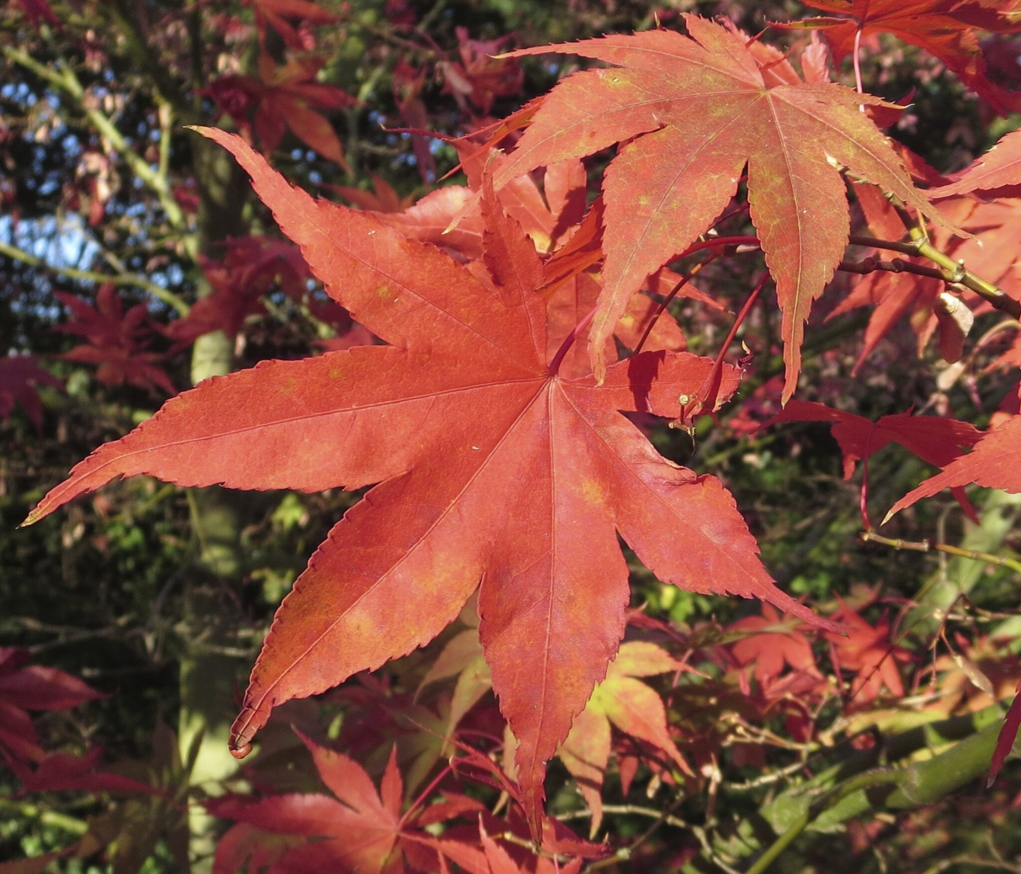 japanese maple 'ozakasuki' leaf in autumn