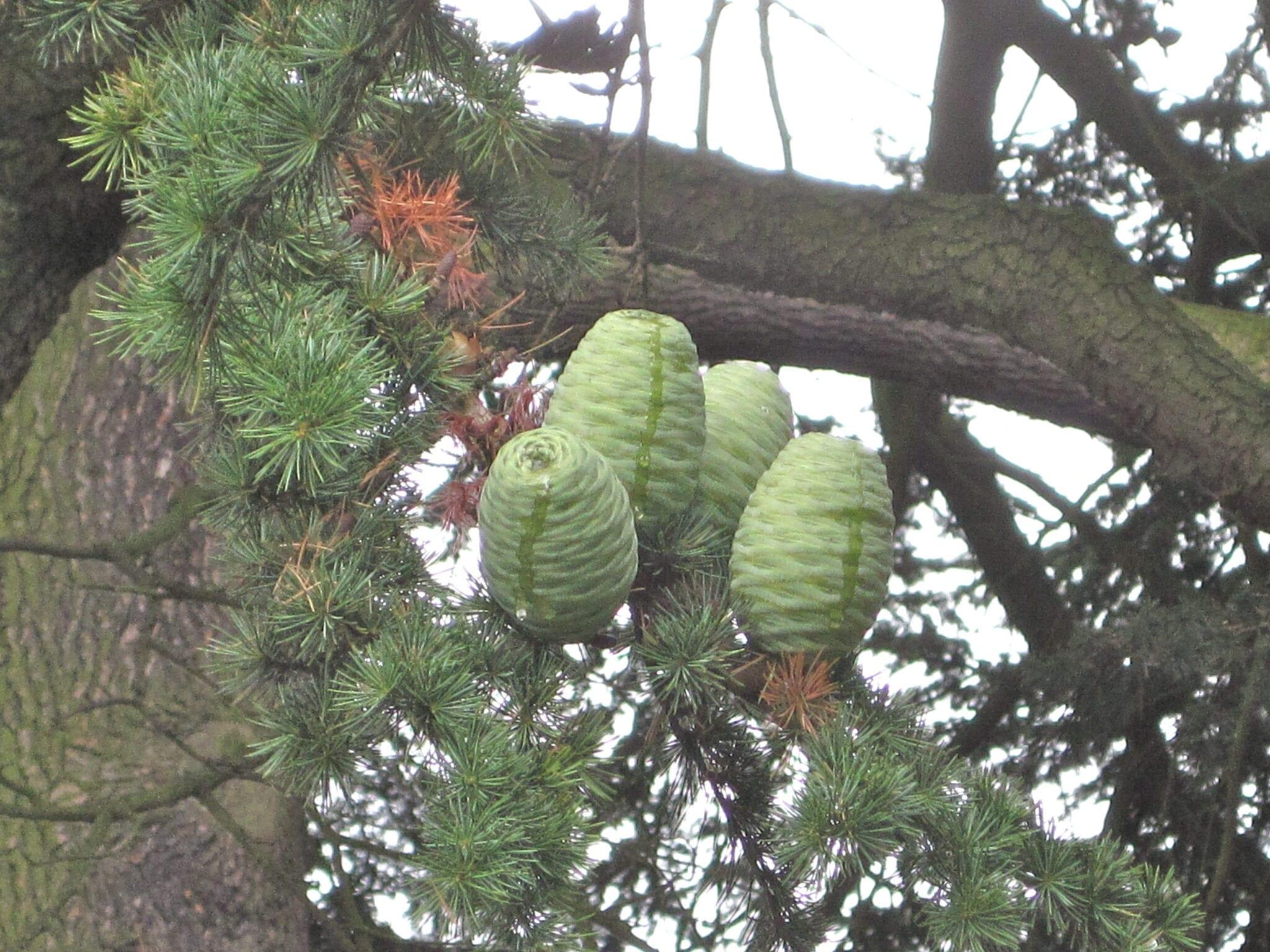 Atlas cedar seed cones