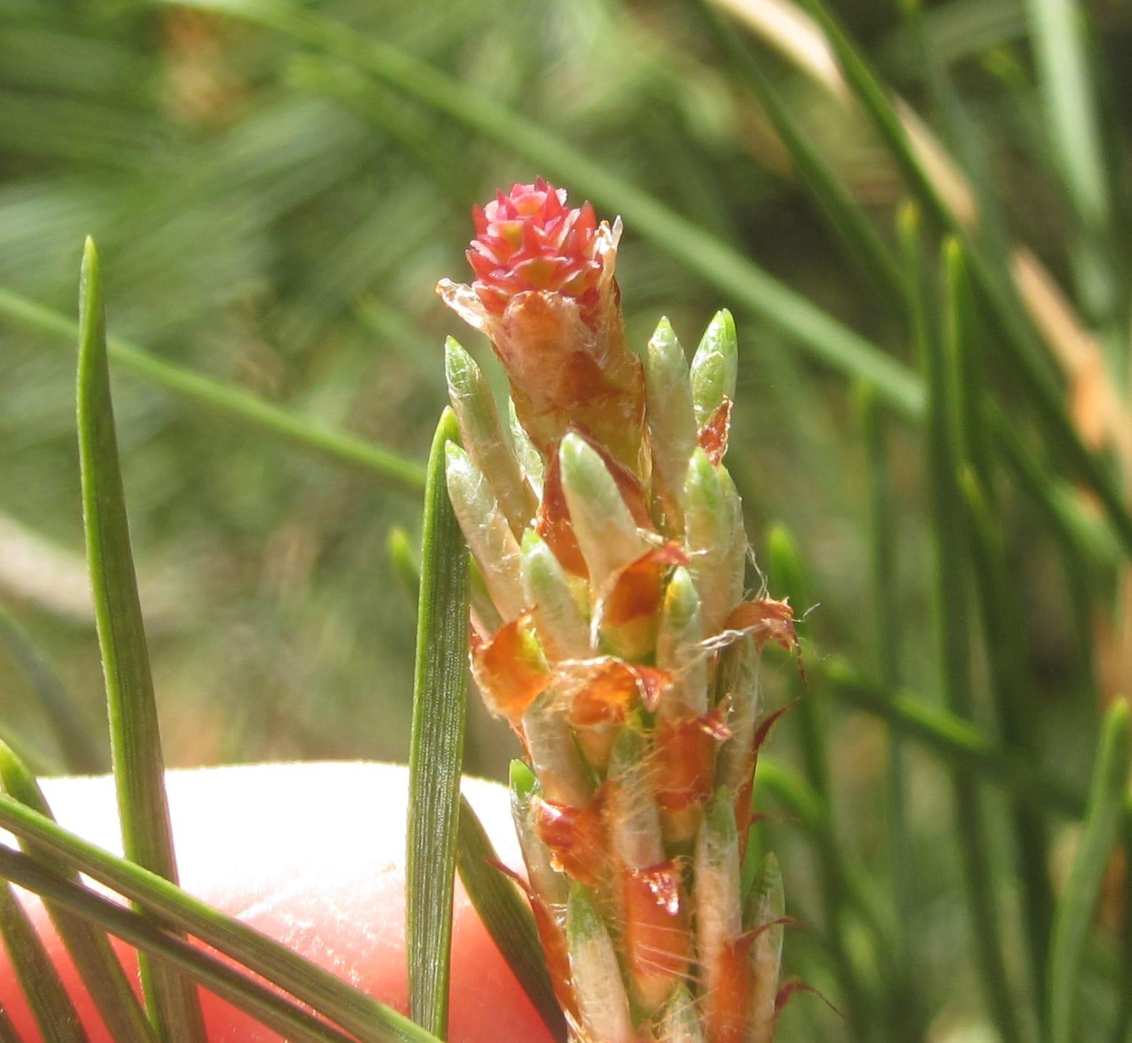 scots pine female  flower