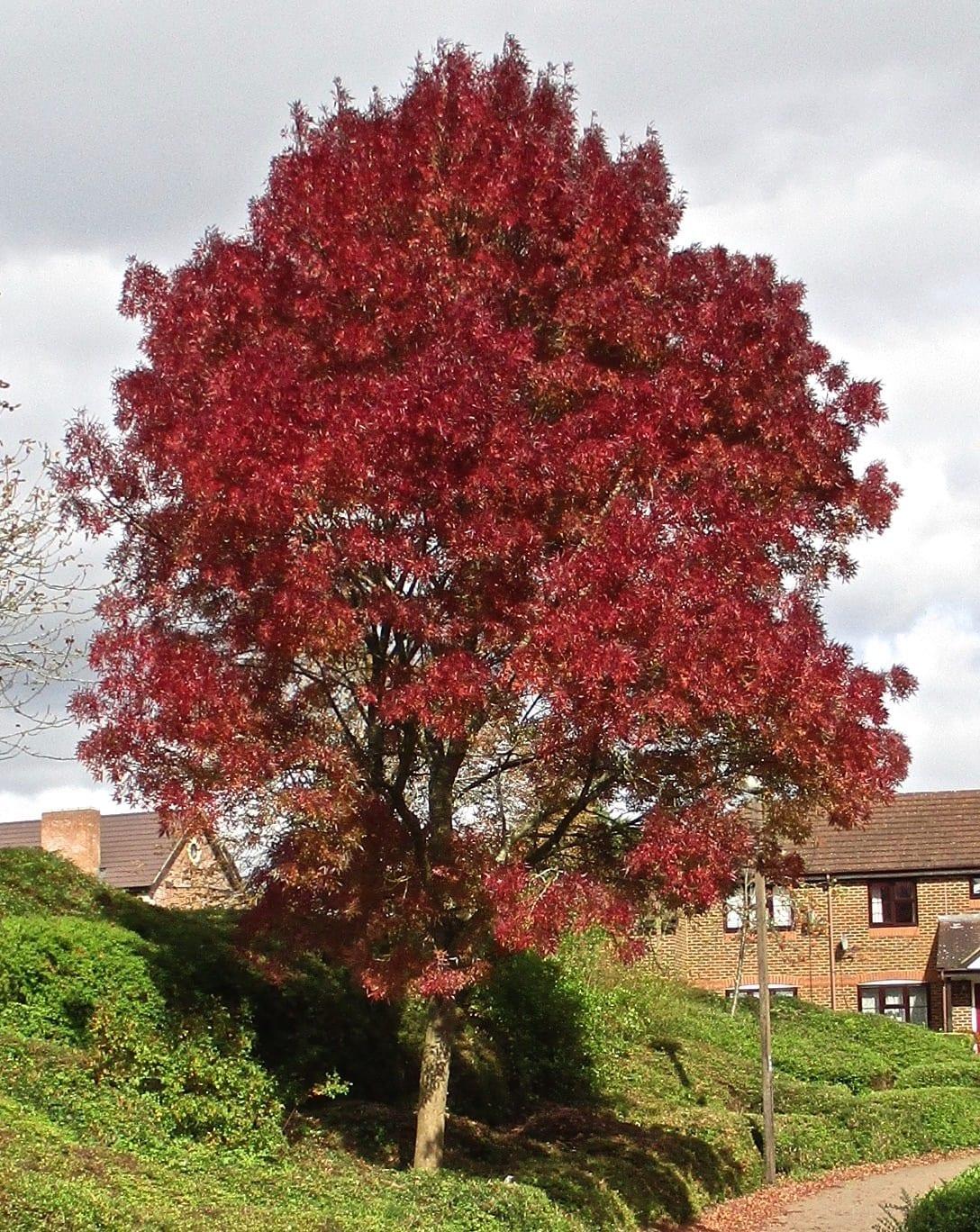 claret ash tree in autumn