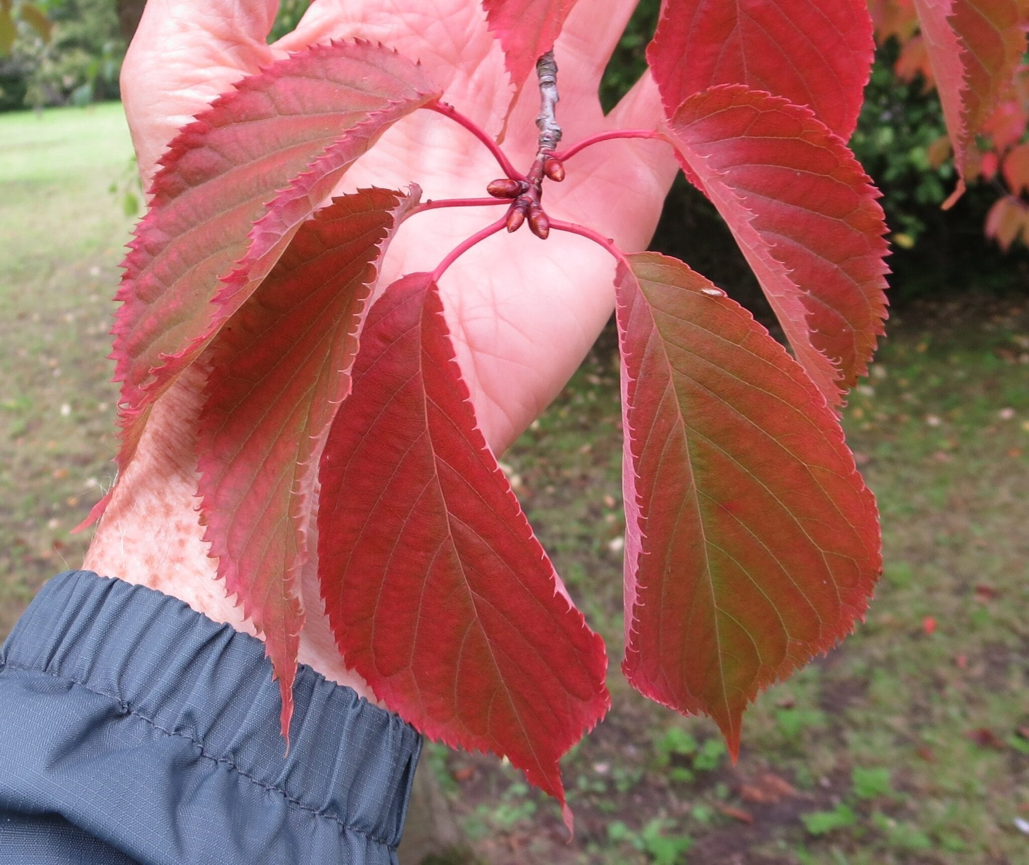 Sargent's Cherry Prunus sargentii leaves