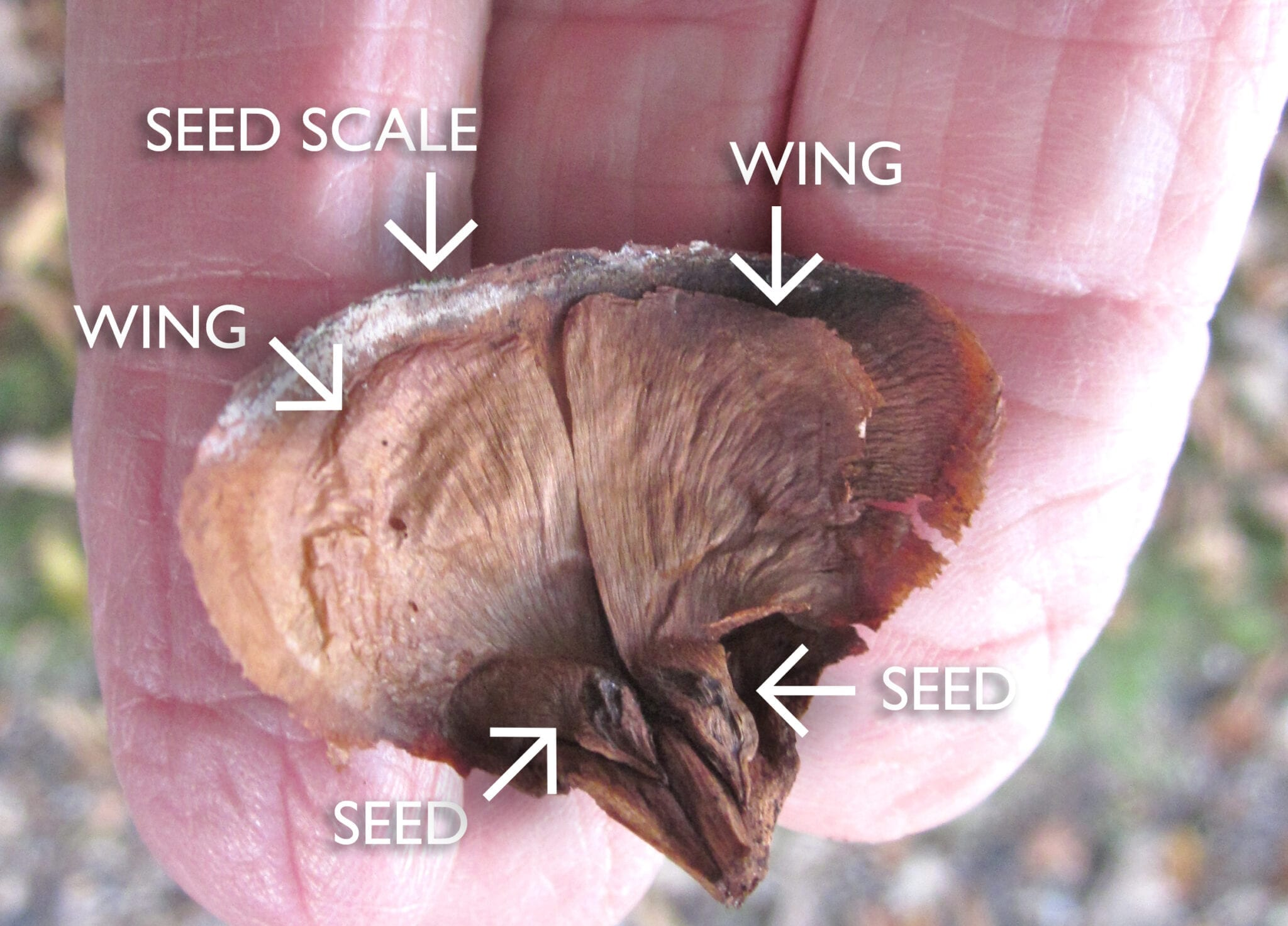 Atlas Cedar winged seeds