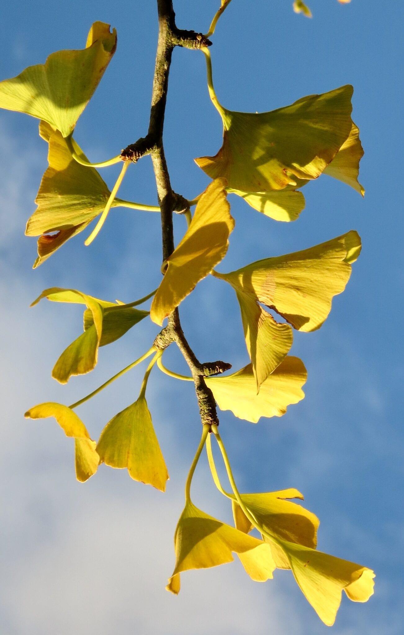ginkgo tree leaves in autumn