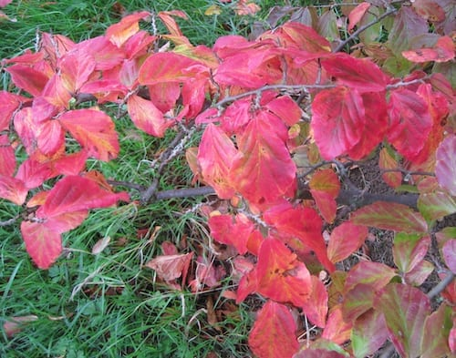 persian ironwood leaves in autumn