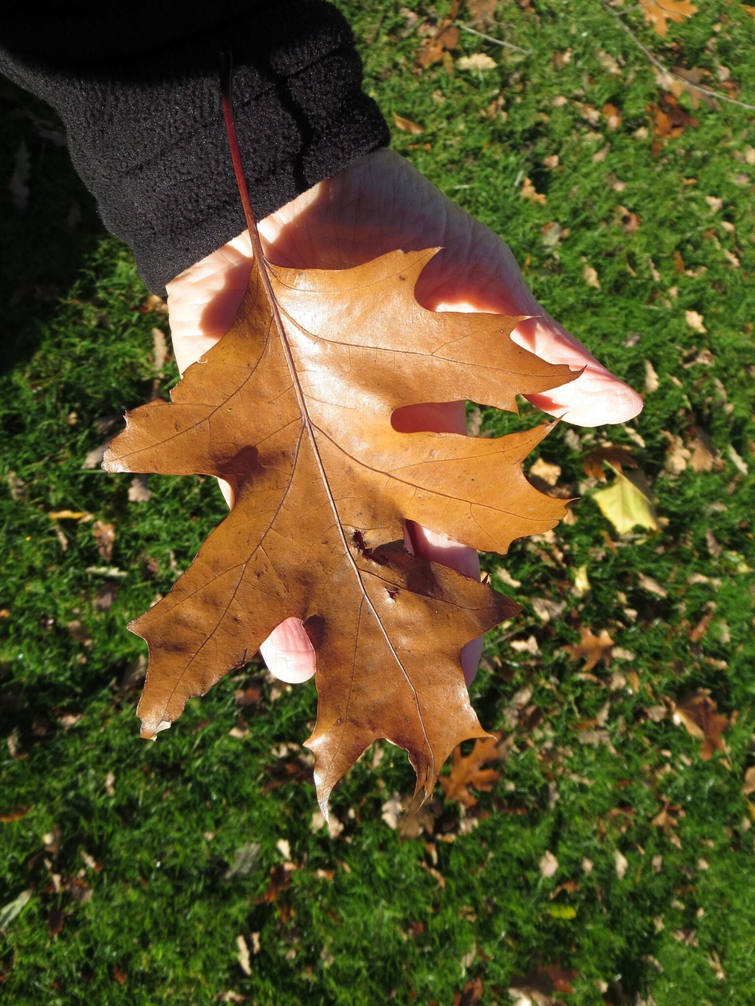 Red Oak Quercus rubra leaf