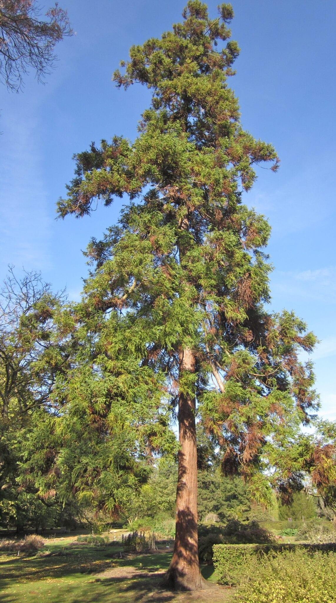 Japanese Red Cedar tree