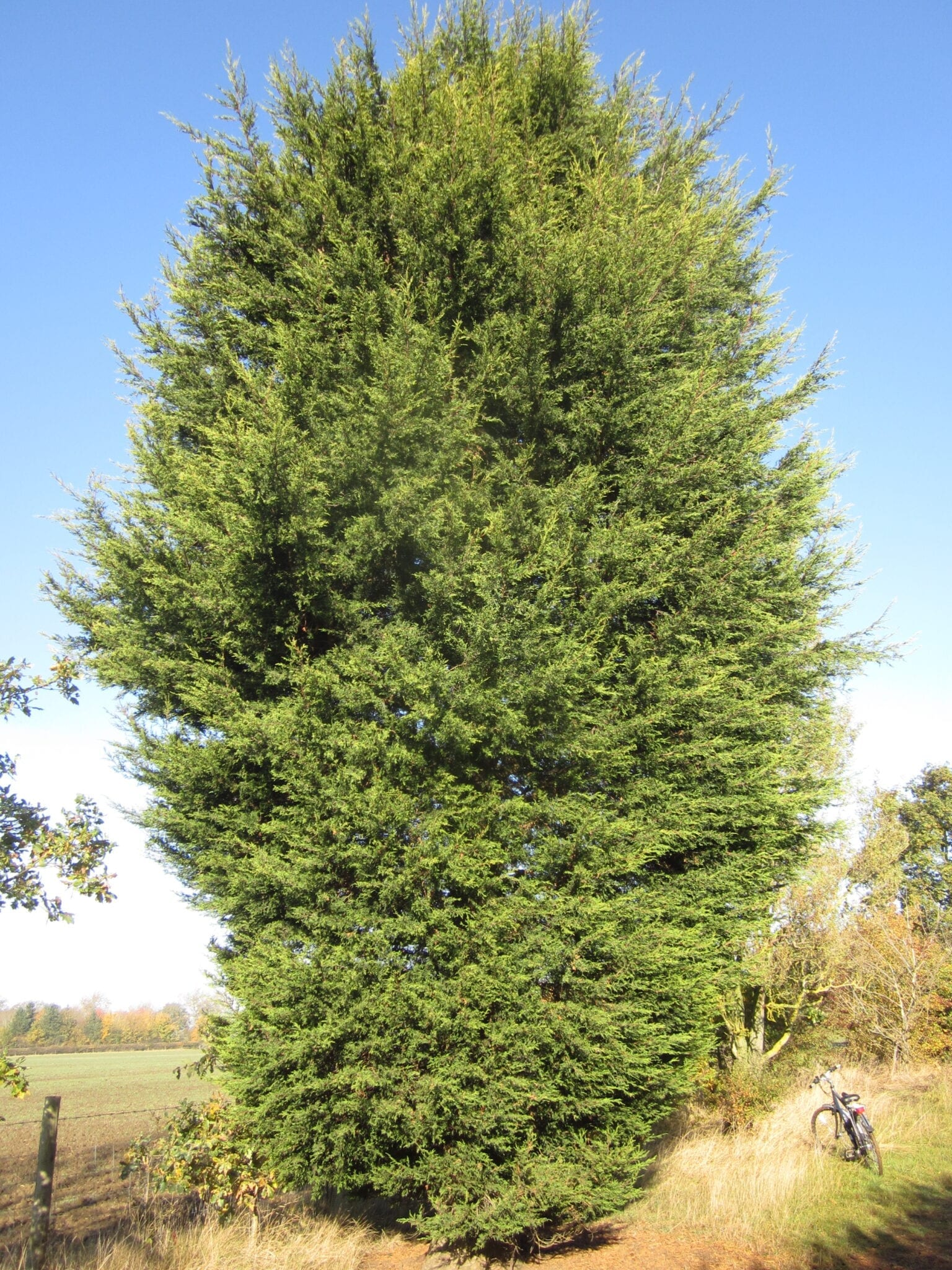 Leyland Cypress mature tree