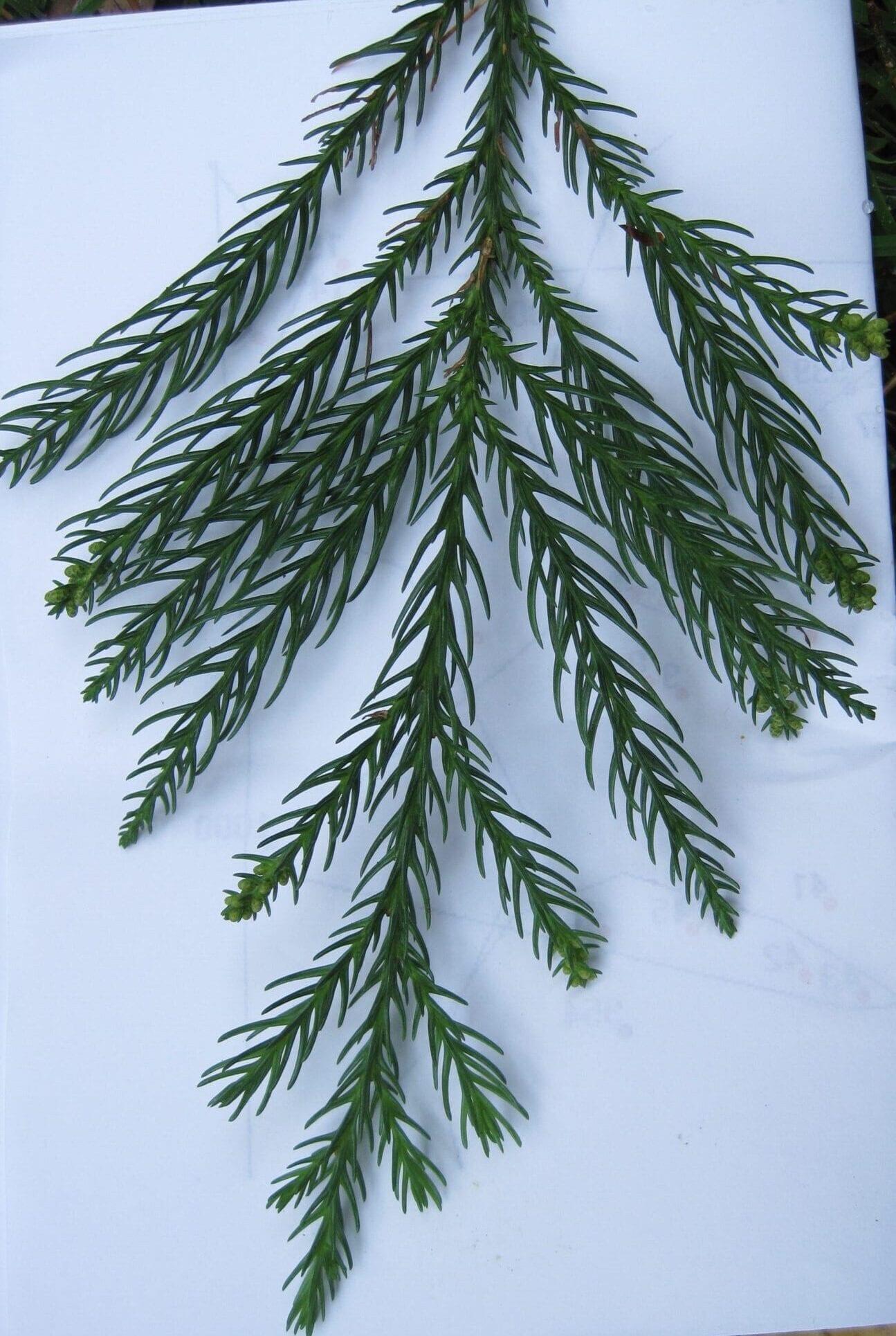Japanese Red Cedar leaves