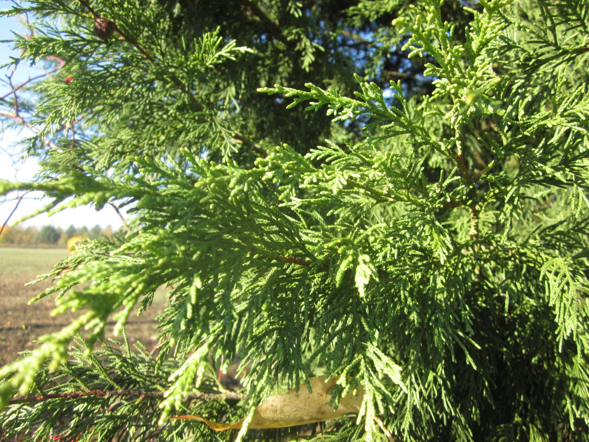 Leyland Cypress shoots and leaves