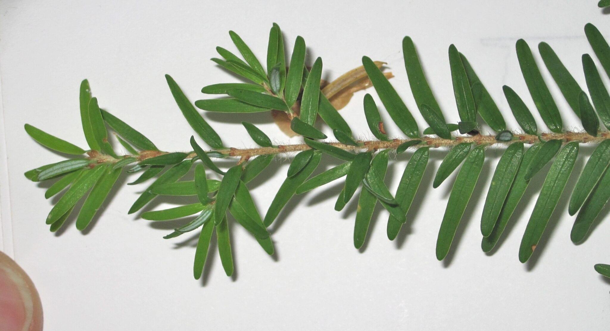 Western Hemlock leaves