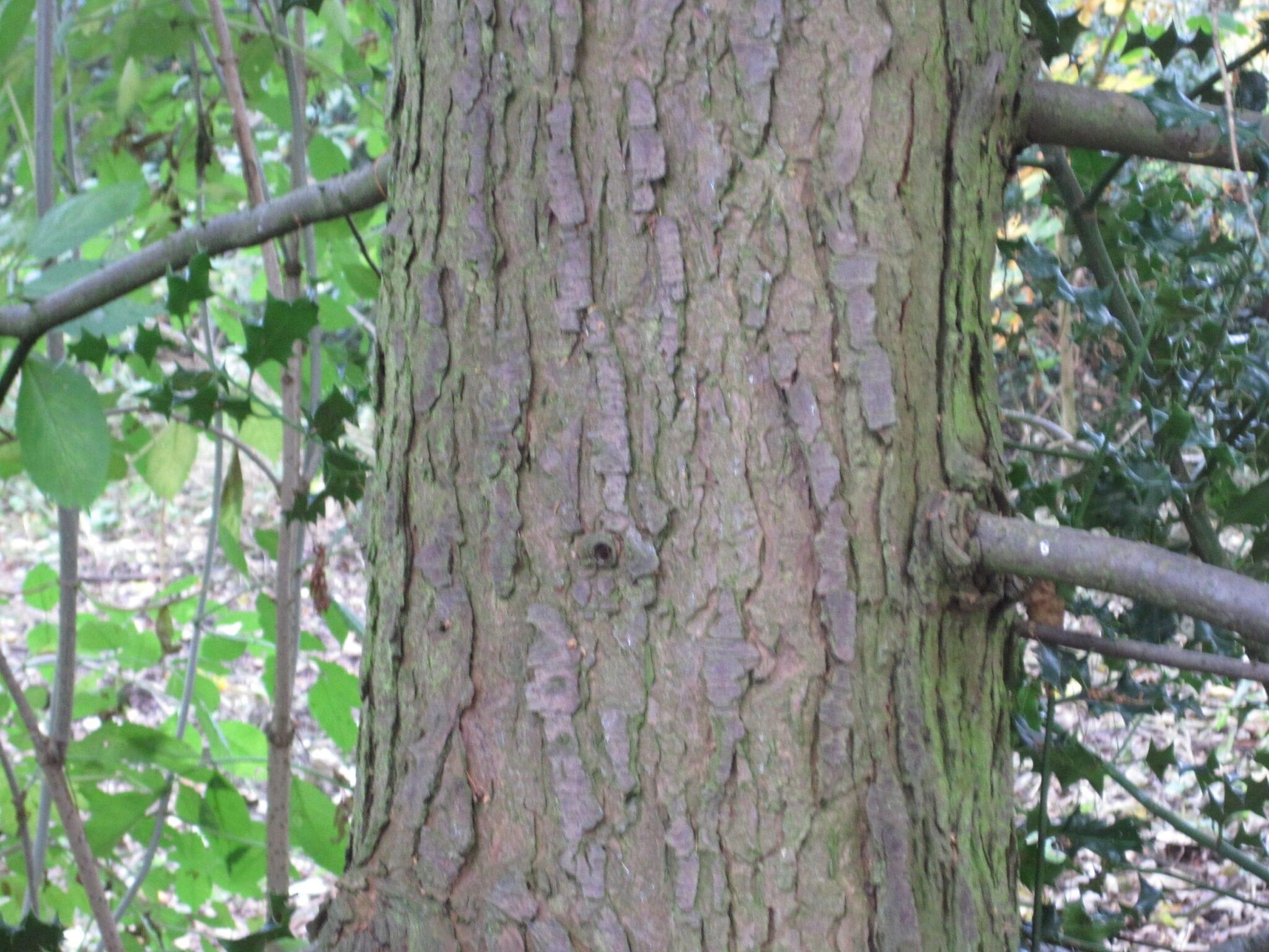 Western Hemlock  bark