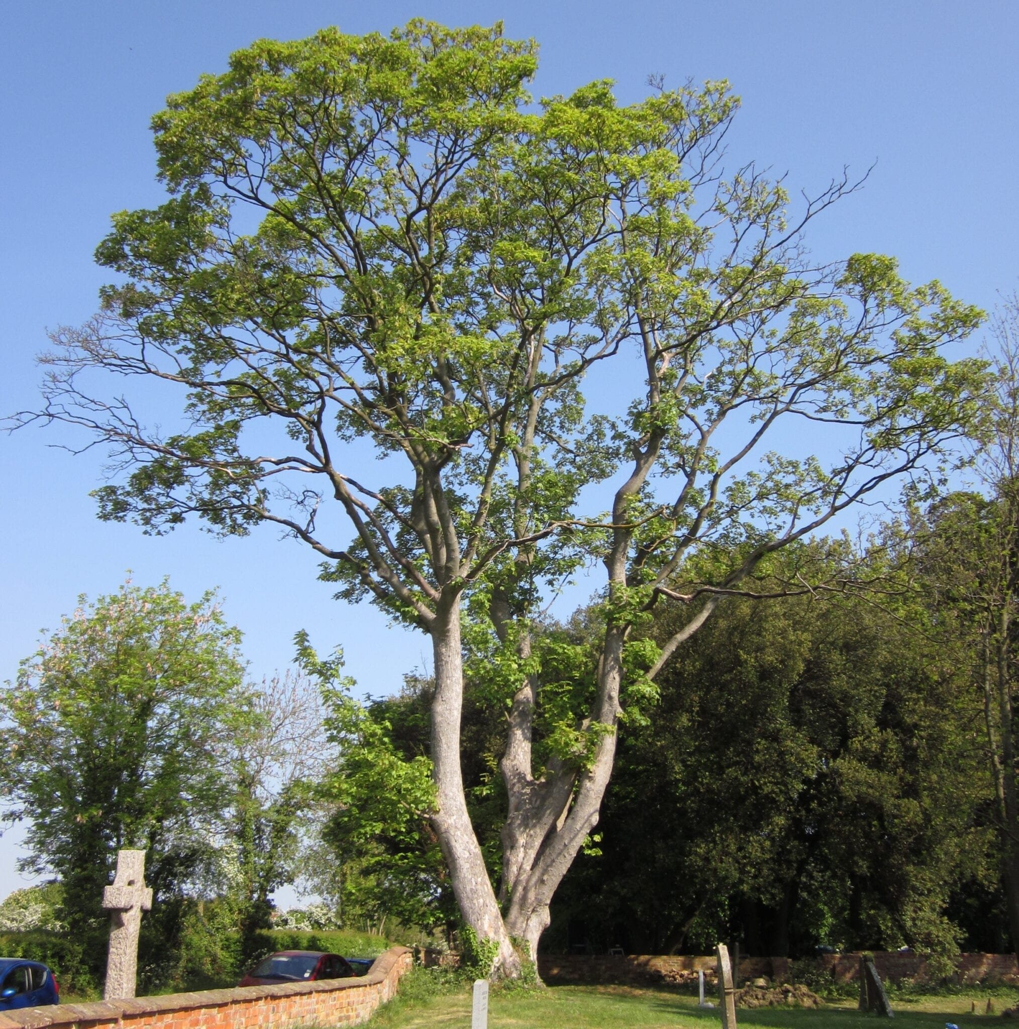 Sycamore mature tree