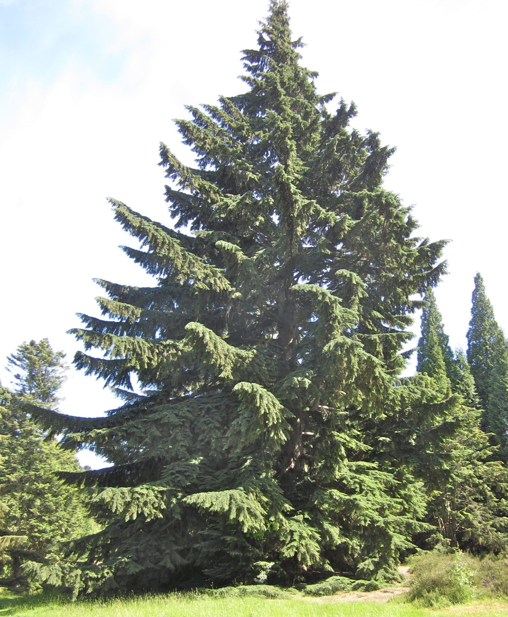 Western Hemlock mature tree