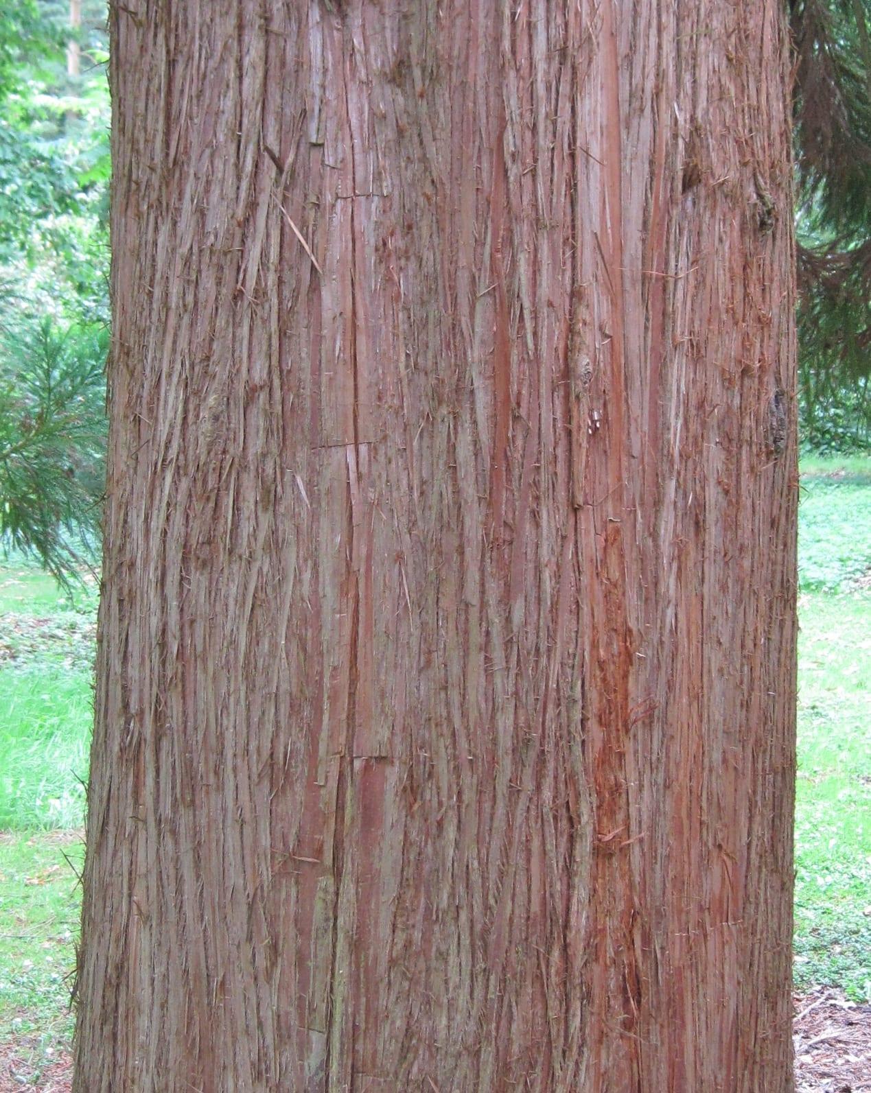 Japanese Red Cedar bark