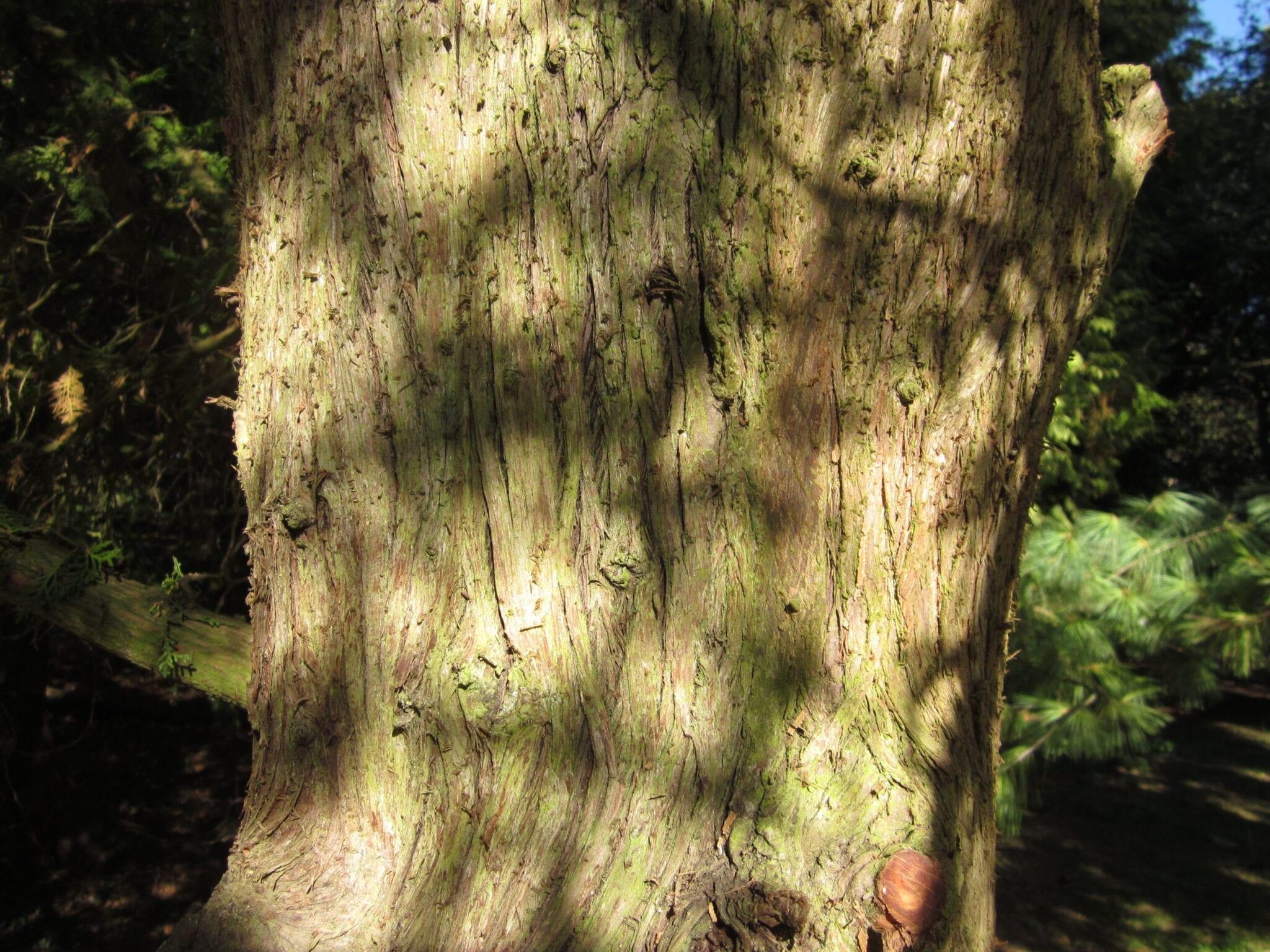 oriental thuja bark