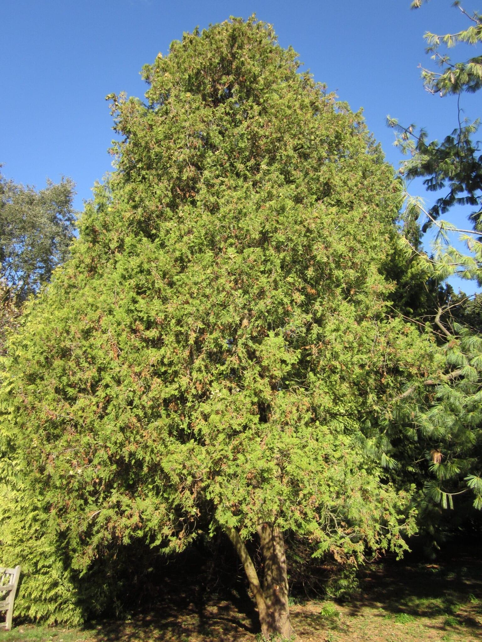 oriental thuja tree