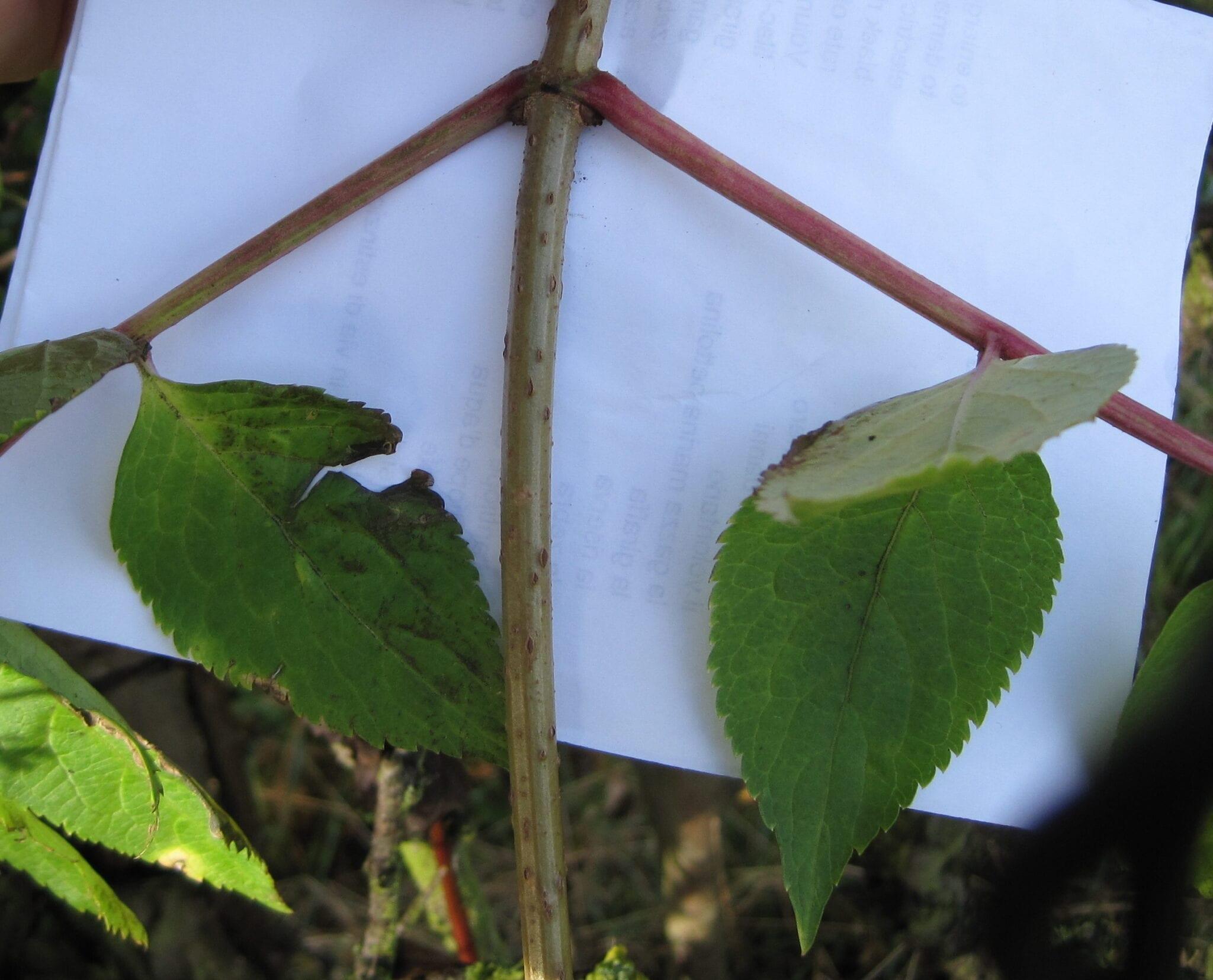 Elder tree opposite leaves