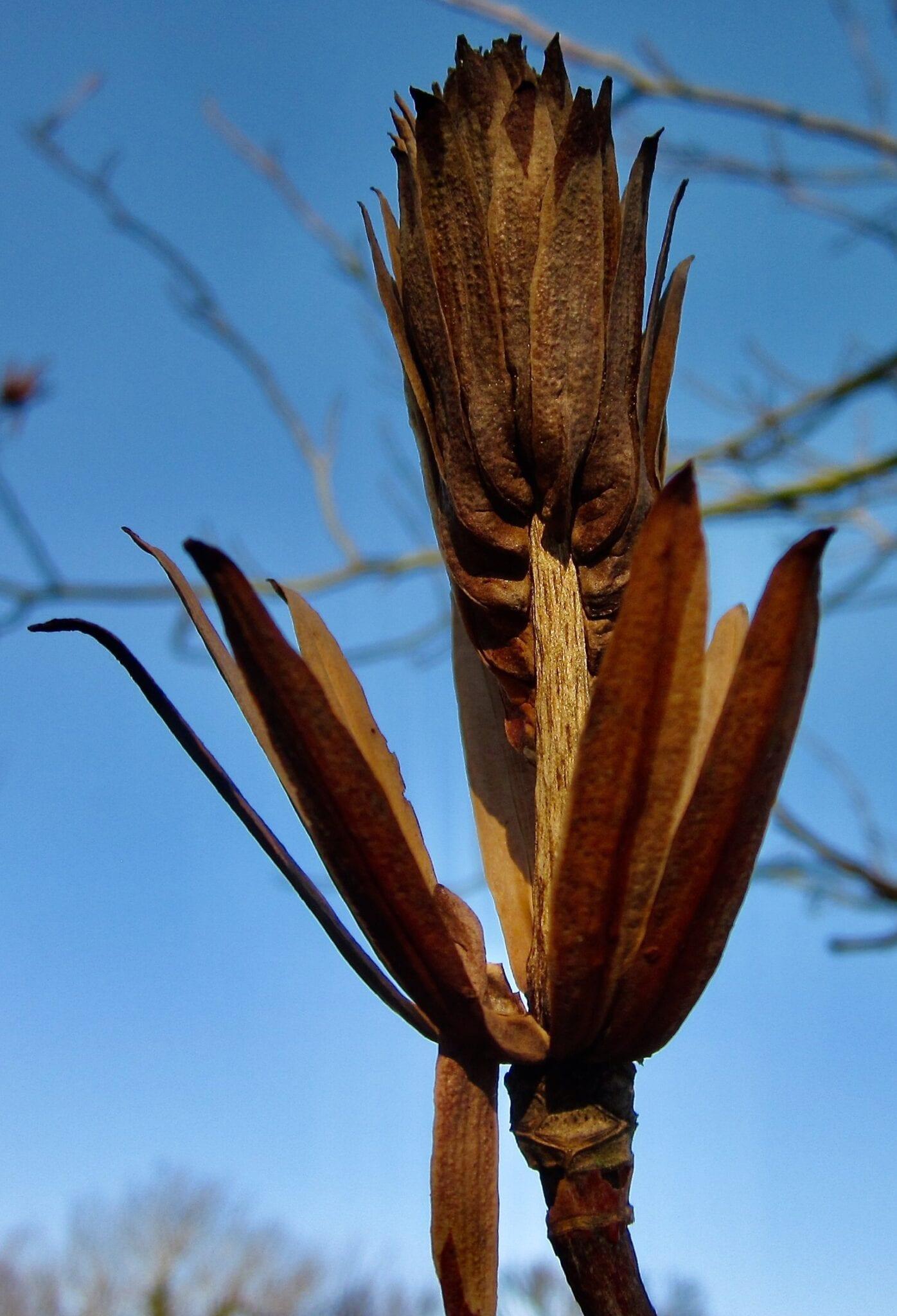 Tulip Tree fruit in winter