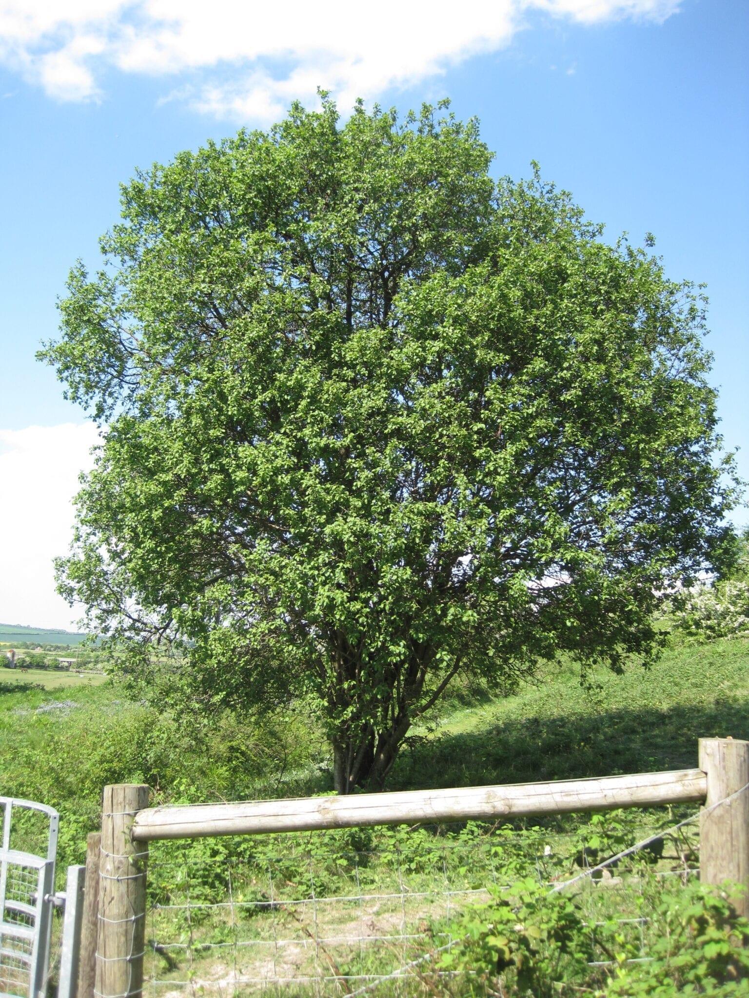 Buckthorn Purging tree