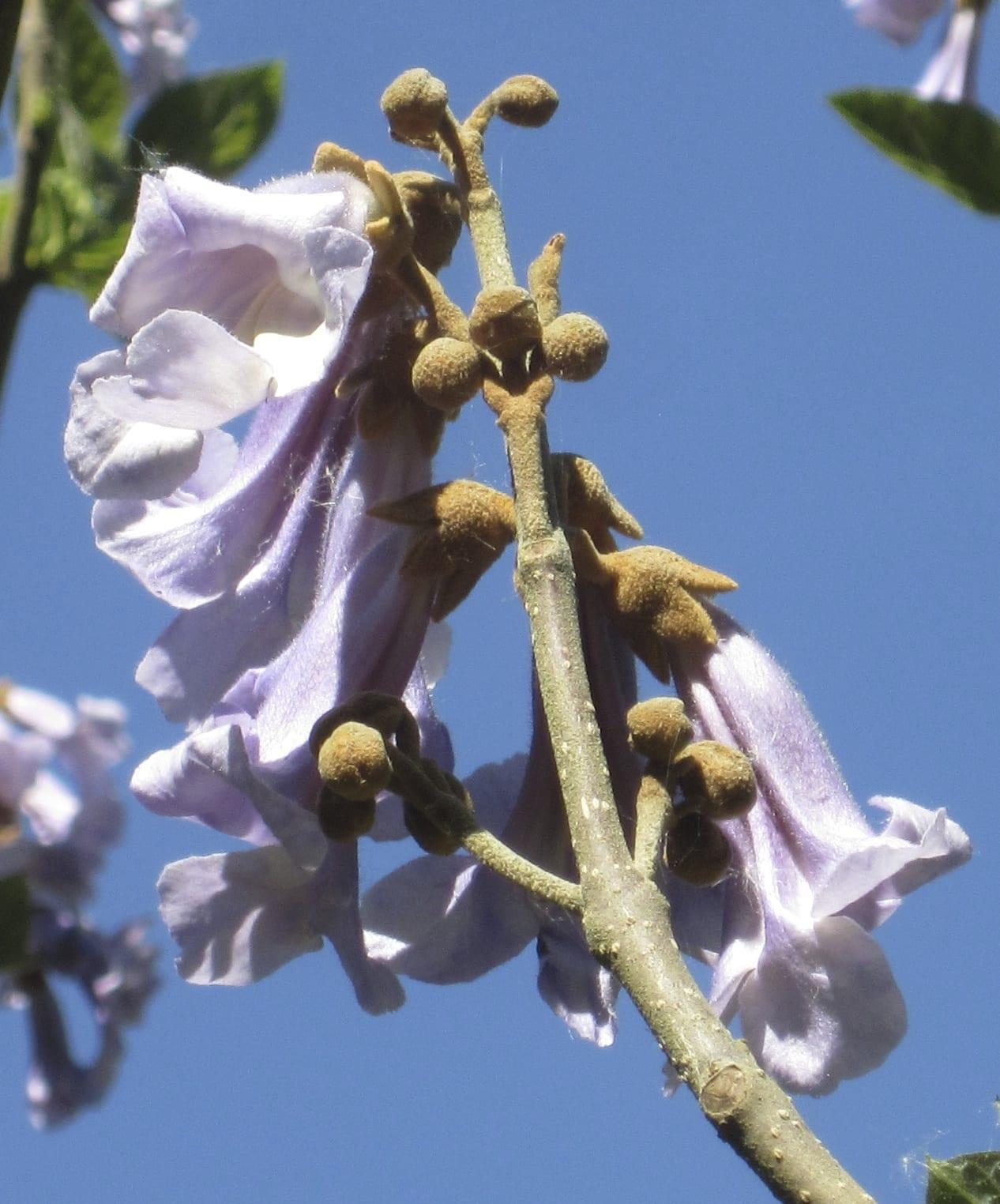 foxglove tree flowers