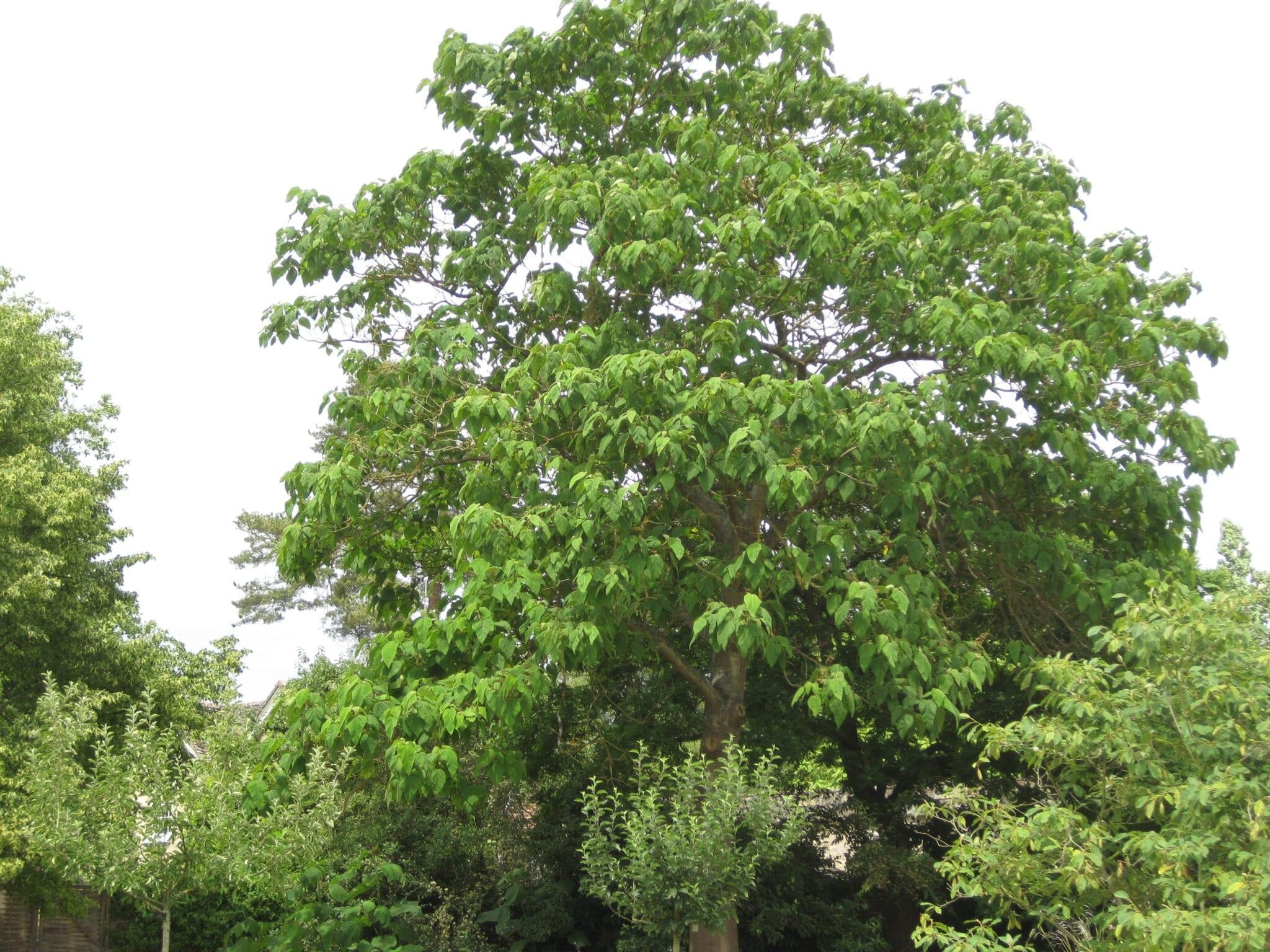 foxglove tree in July