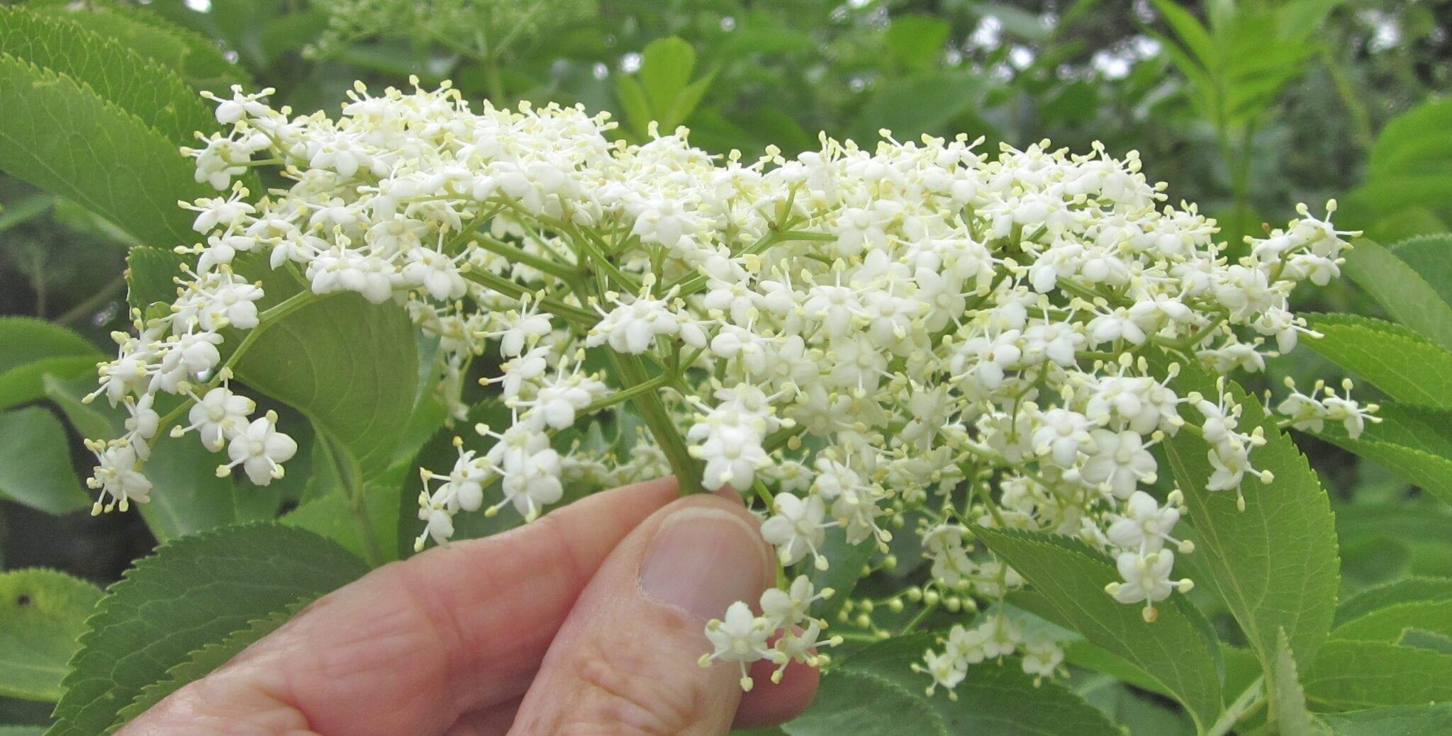 Elder tree  flowers in June