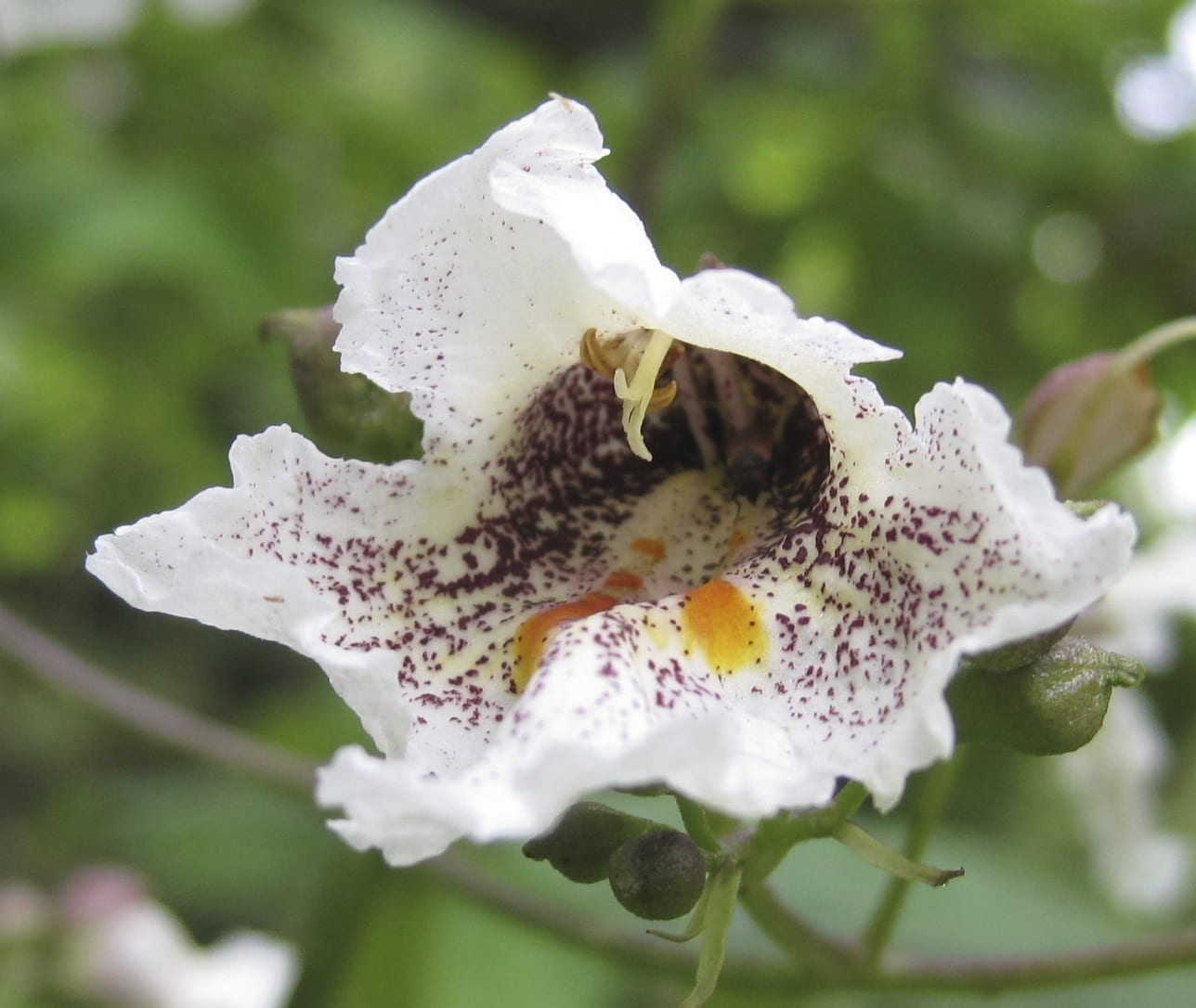 Southern Catalpa flower
