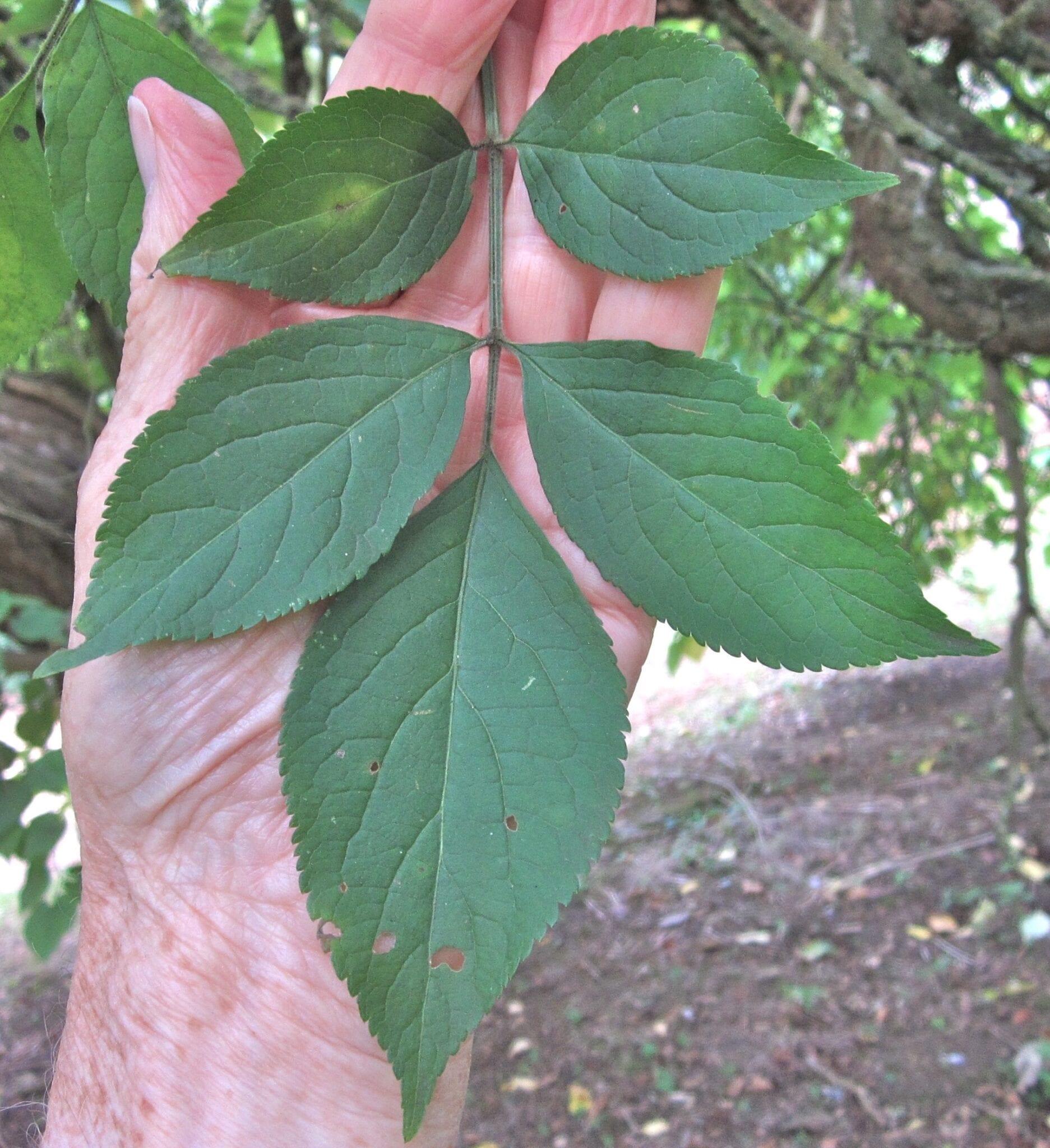 Elder tree  pinnate leaf