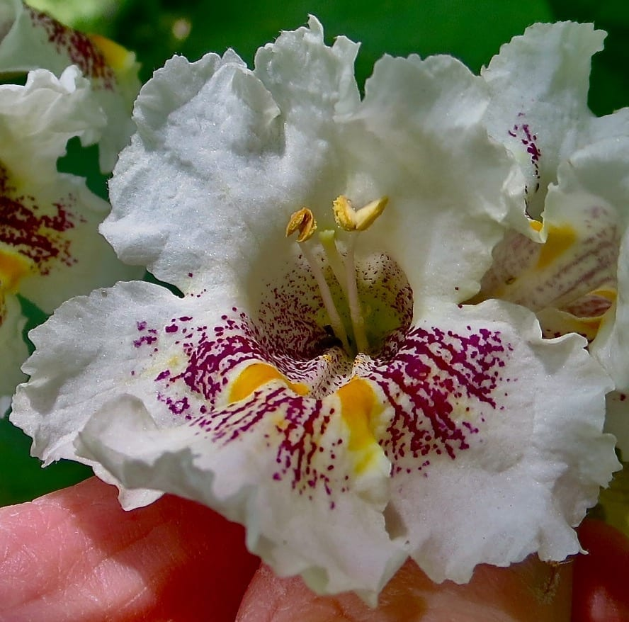 Southern Catalpa flower close-up