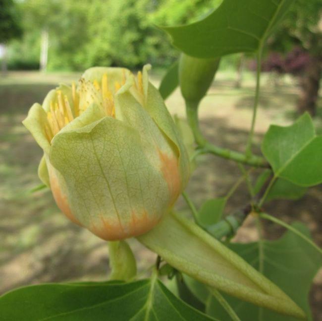 Tulip Tree flower in May