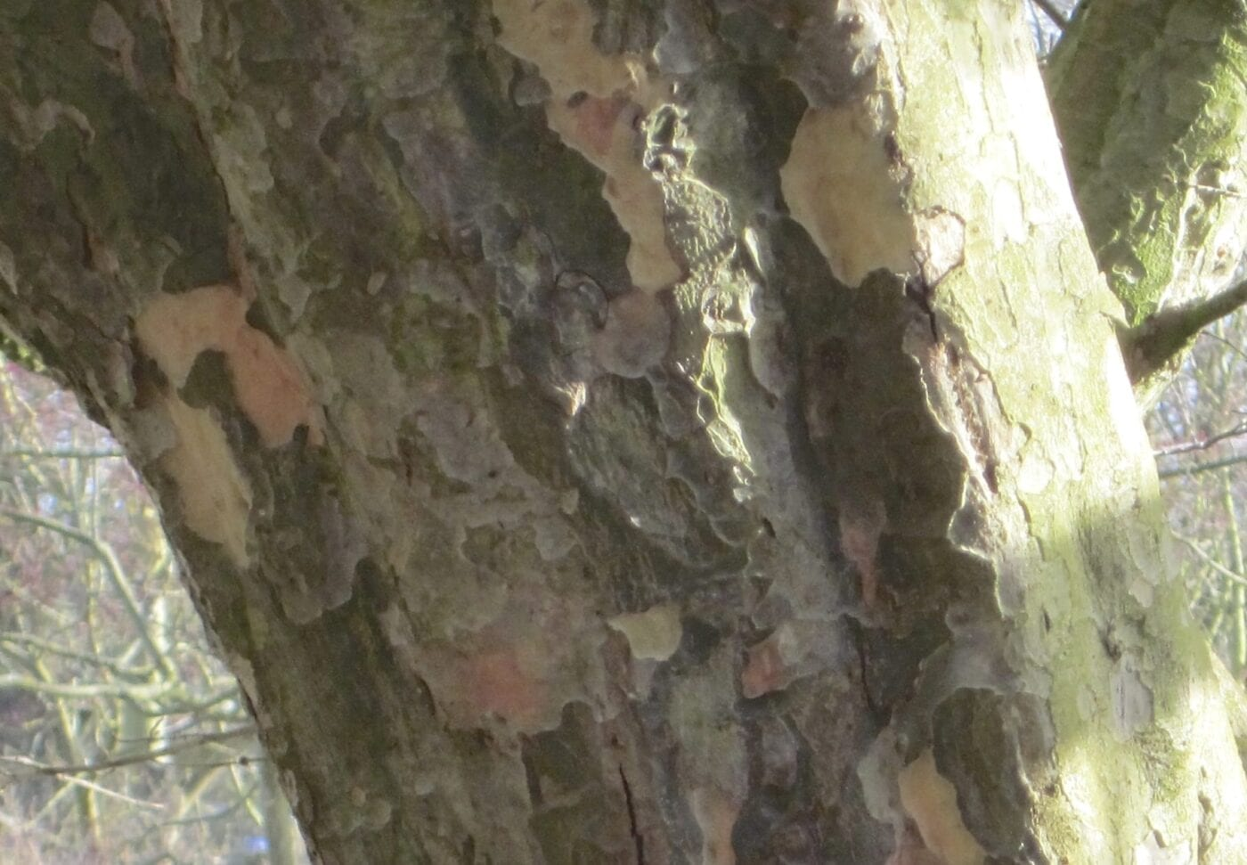 Persian Ironwood bark